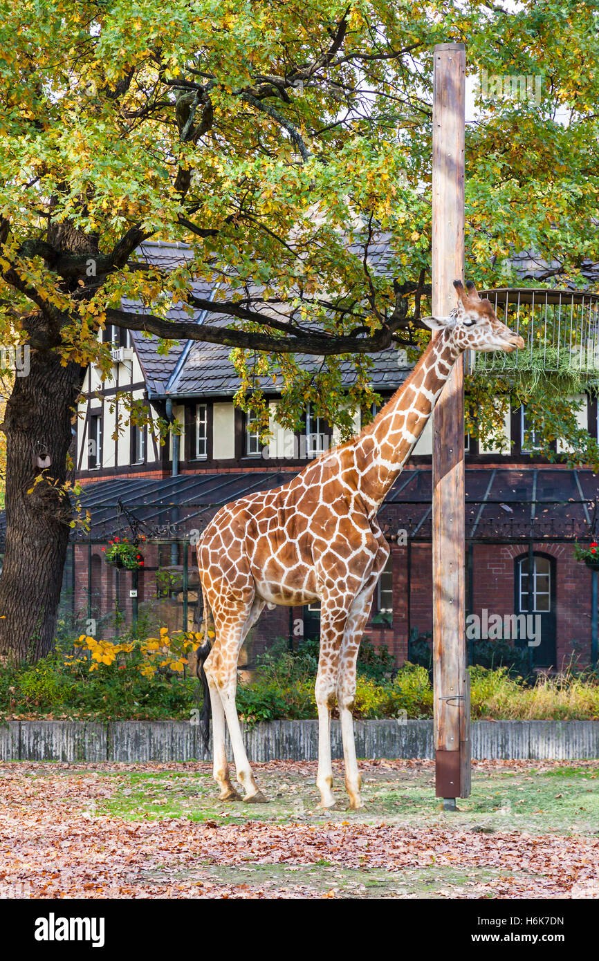 Giraffe réticulée (Giraffa reticulata), également connu sous le nom de la girafe, promenades à l'extérieur de la volière du Zoo de Berlin Banque D'Images