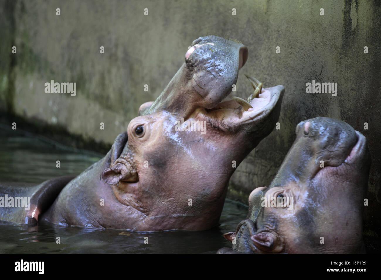 Grand Hippopotame dans l'eau, la Thaïlande, l'Asie du sud-est Photo Stock
