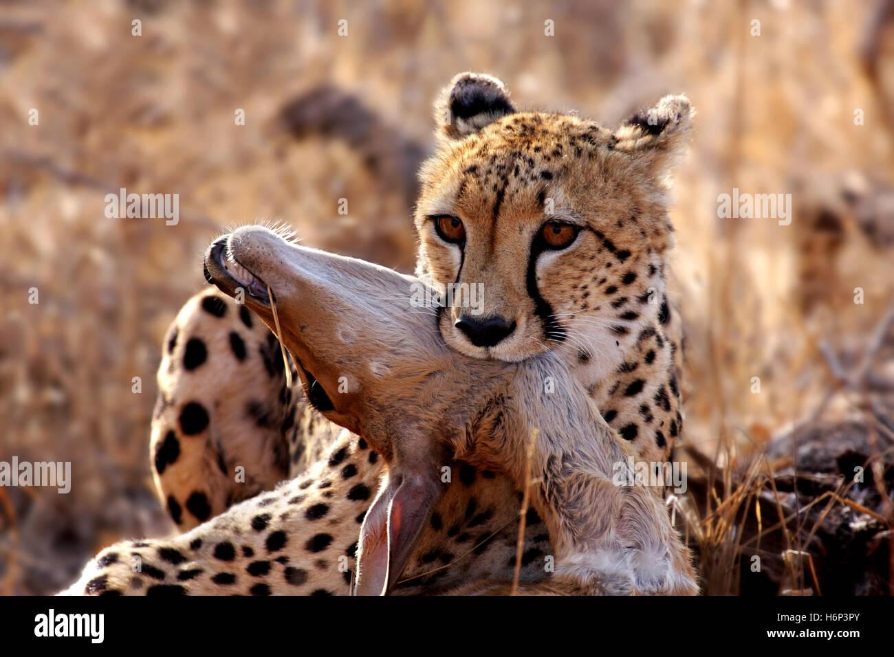 Cheetah avec les proies sauvages, Photo Stock
