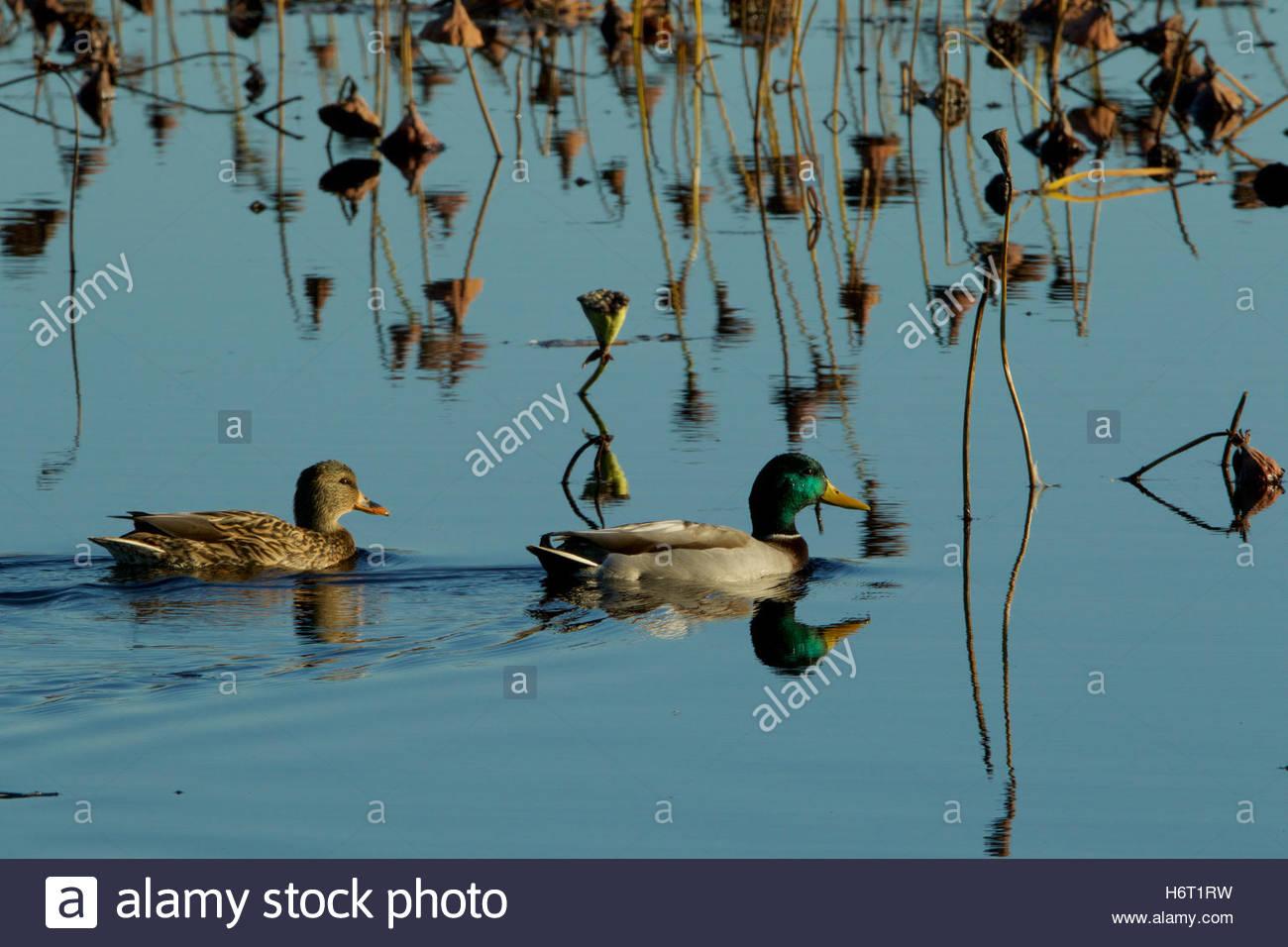 Les canards colverts, un mâle et femelle, nager sur l'eau. Photo Stock