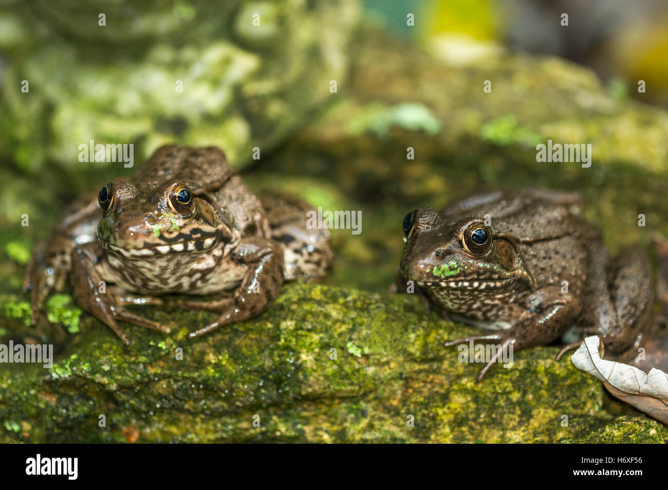 Le sud de grenouille léopard (Lithobates sphenocephalus). New York, États-Unis. Photo Stock