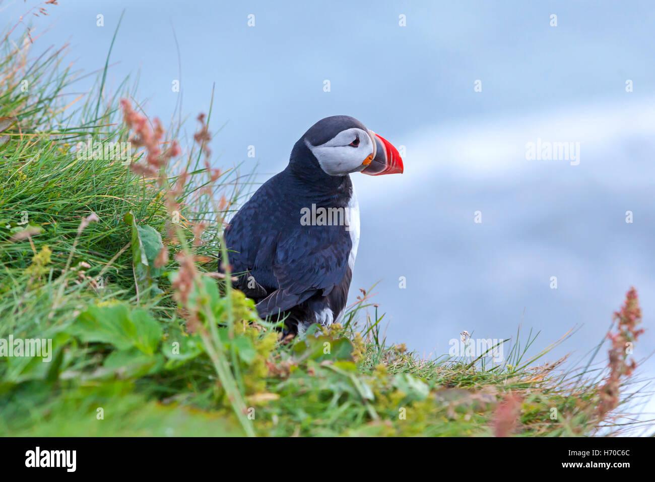 Un groupe de macareux macareux (oiseaux) en Islande. Photo Stock