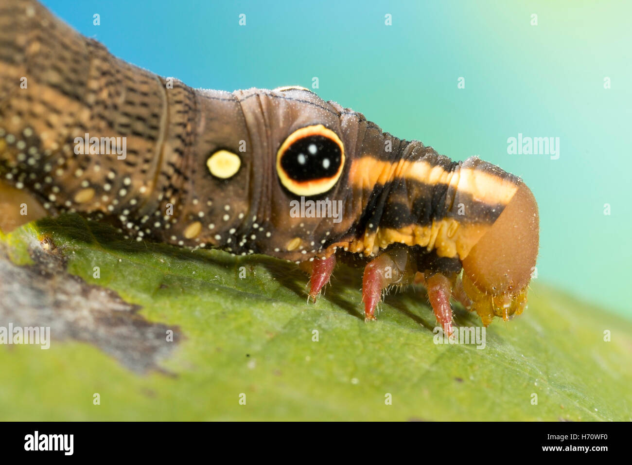 Hawk Moth Vine's False eye caterpillar (Hippotion rosetta) Photo Stock