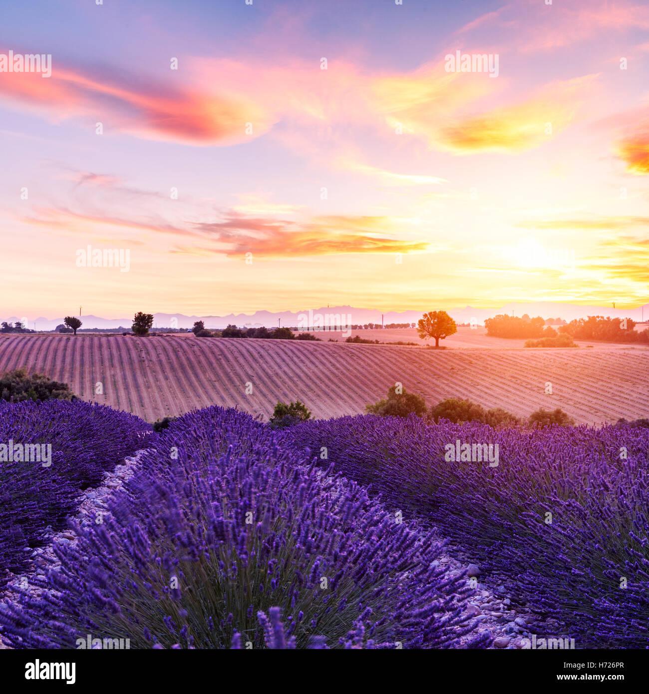 Champ de lavande au coucher du soleil d'été paysage près de Valensole.Provence,France Photo Stock