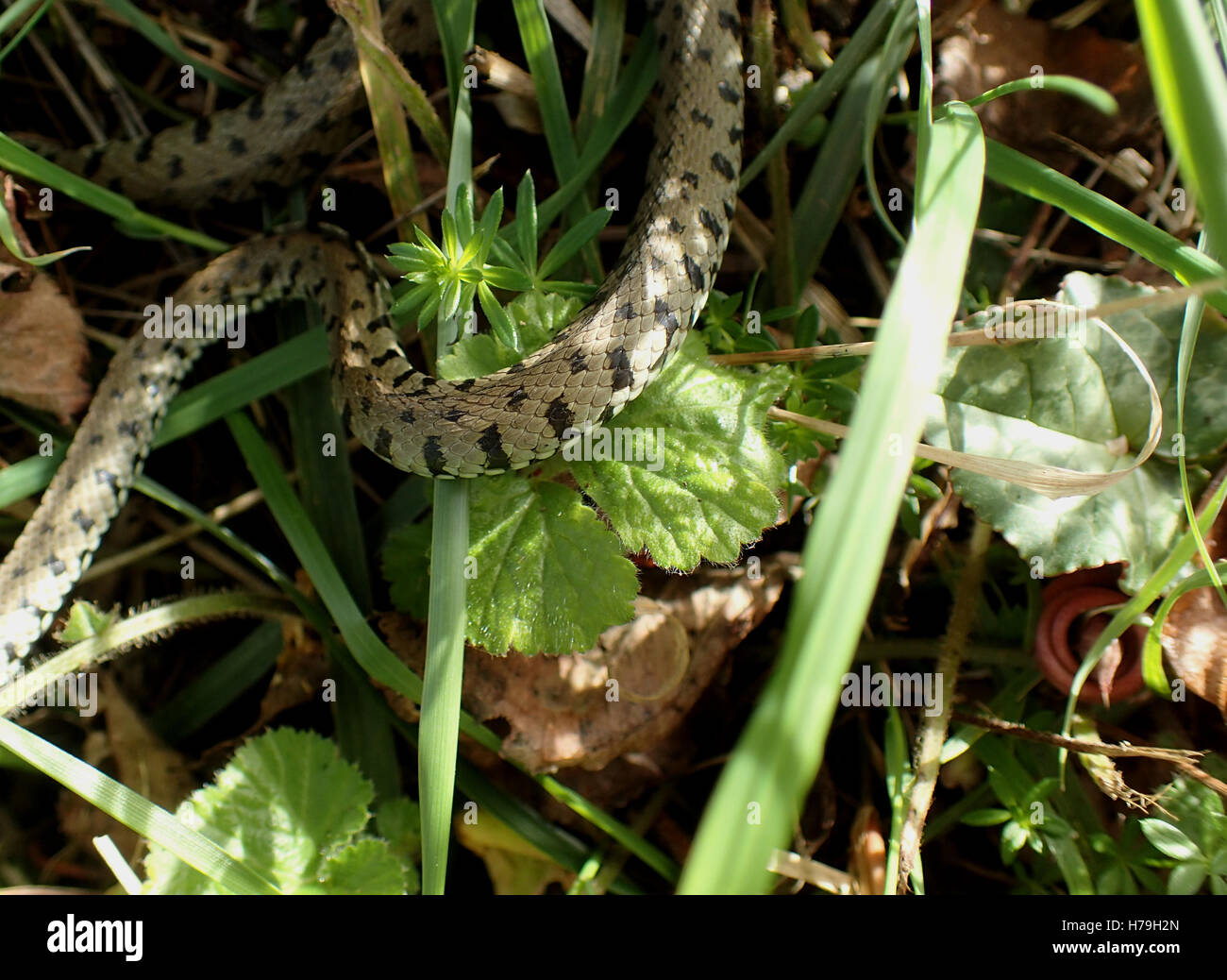 Close-up de section du milieu de la couleuvre à collier (Natrix natrix) en sous-bois dans soleil pommelé Photo Stock