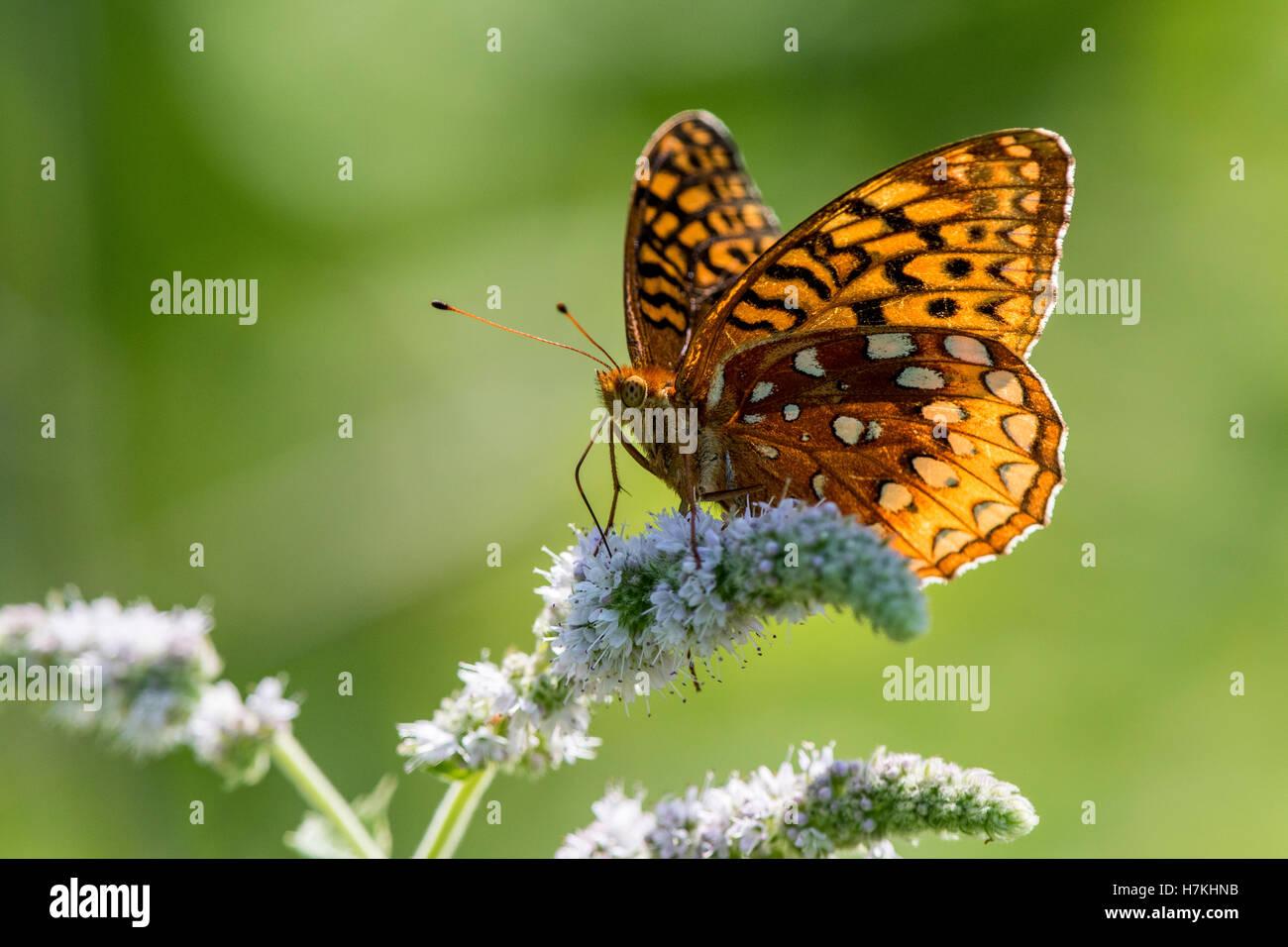 Papillon sur fleur. Fritillary butterfly reposant sur fleur de menthe avec ailes déployées au soleil. Photo Stock