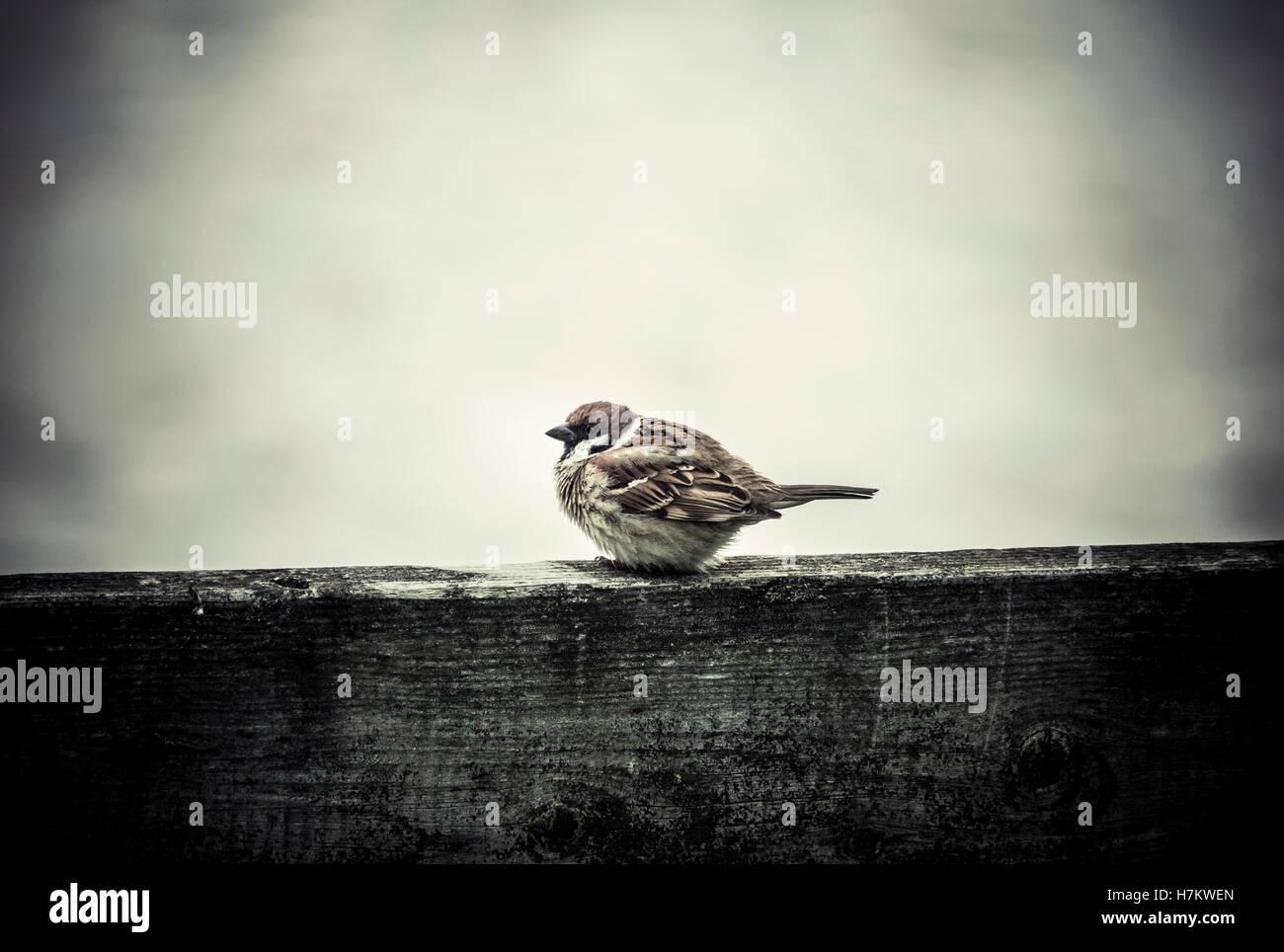 Petit oiseau très froid en hiver froid. Petit moineau assis sur la clôture. Banque D'Images