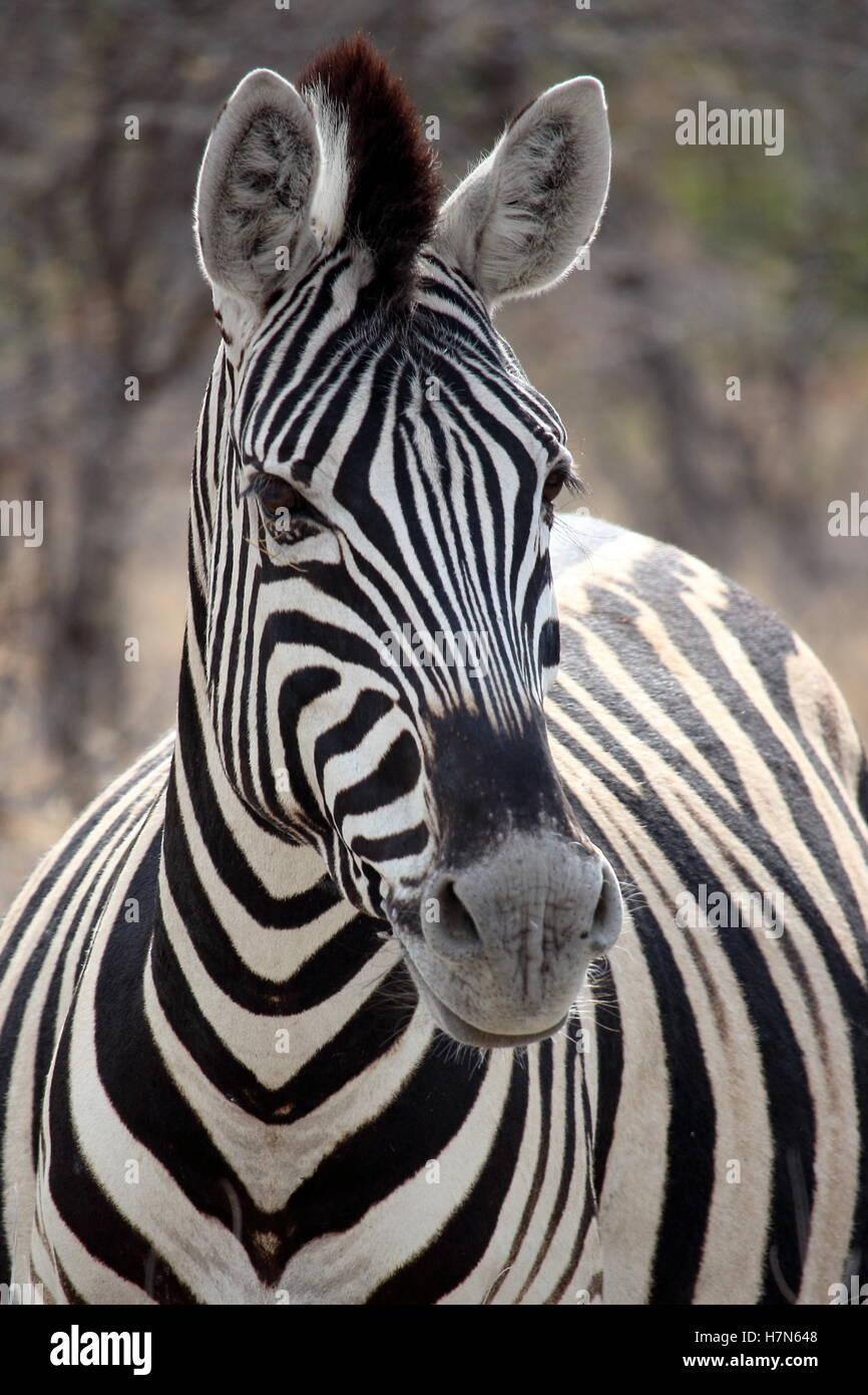 Zebra Portrait dans Etosha, Namibie Photo Stock