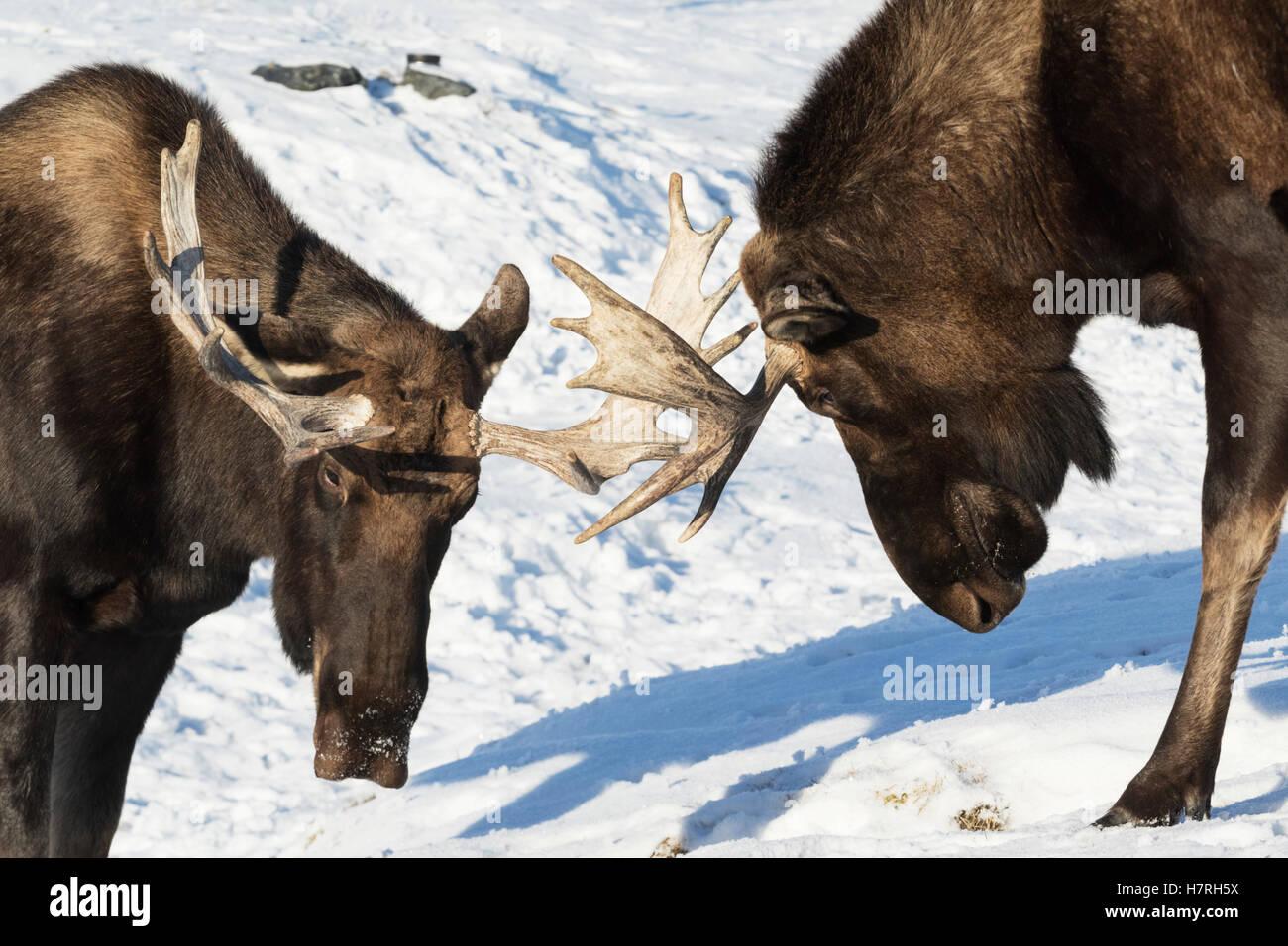 Deux orignal (Alces alces) avec bois jouer-spar les uns avec les autres au milieu de l'hiver, captifs à Photo Stock