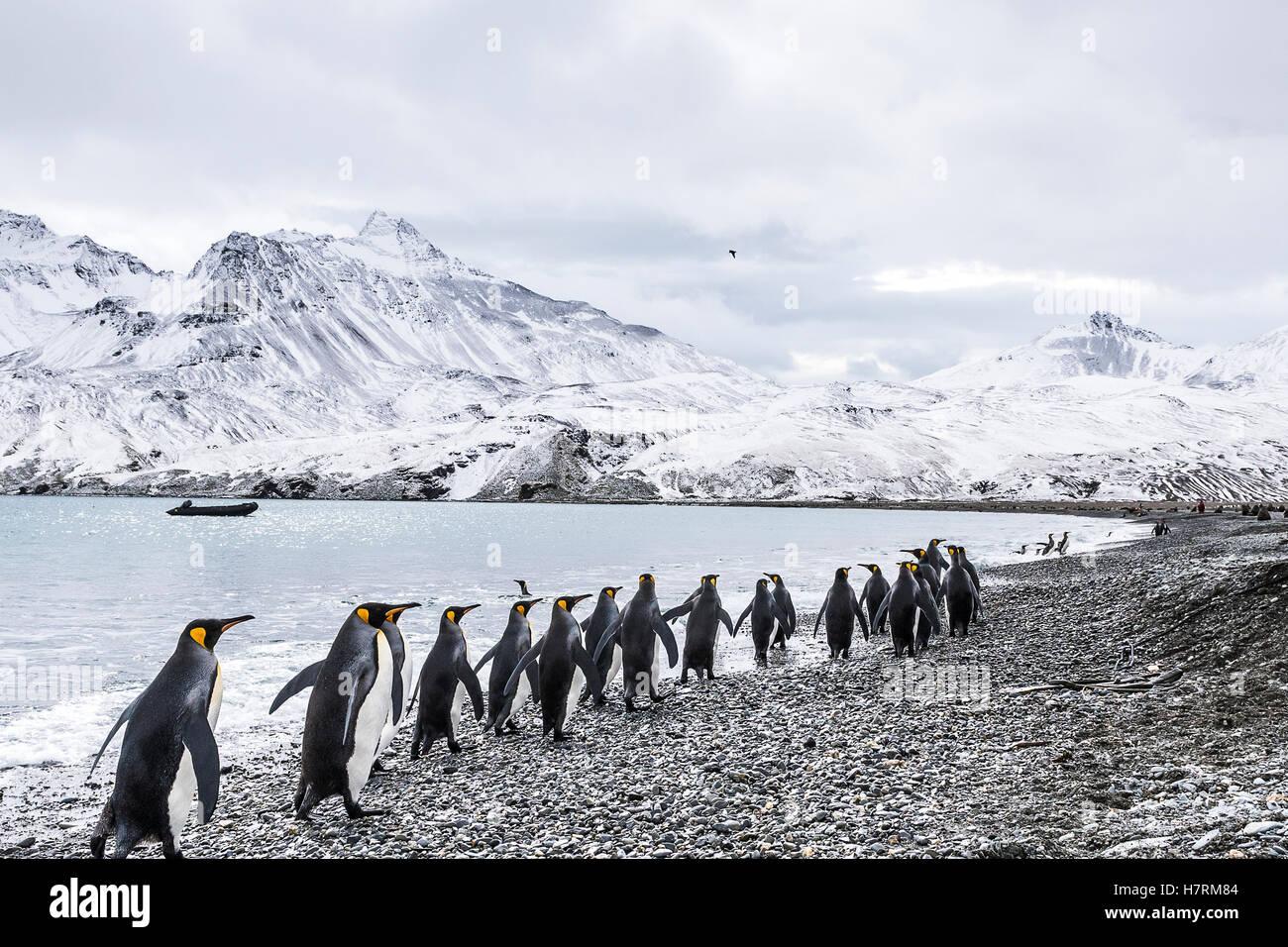 Le manchot royal (Aptenodytes patagonicus) marcher dans une rangée au bord de l'eau et d'un zodiac Photo Stock