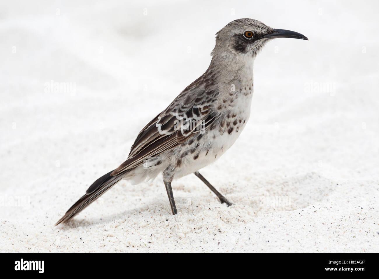 Espanola Mockingbird (Mimus macdonaldi), également connu sous le nom de Hood Mockingbird, sur la plage de Galapagos Banque D'Images