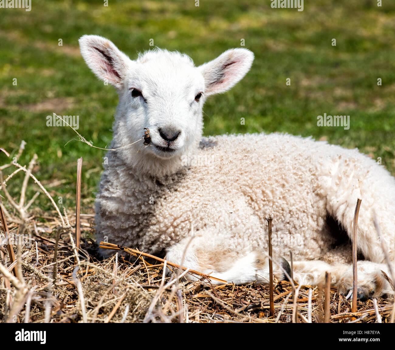 Agneau couché détendue au soleil et à mâcher sur herbe sèche Banque D'Images