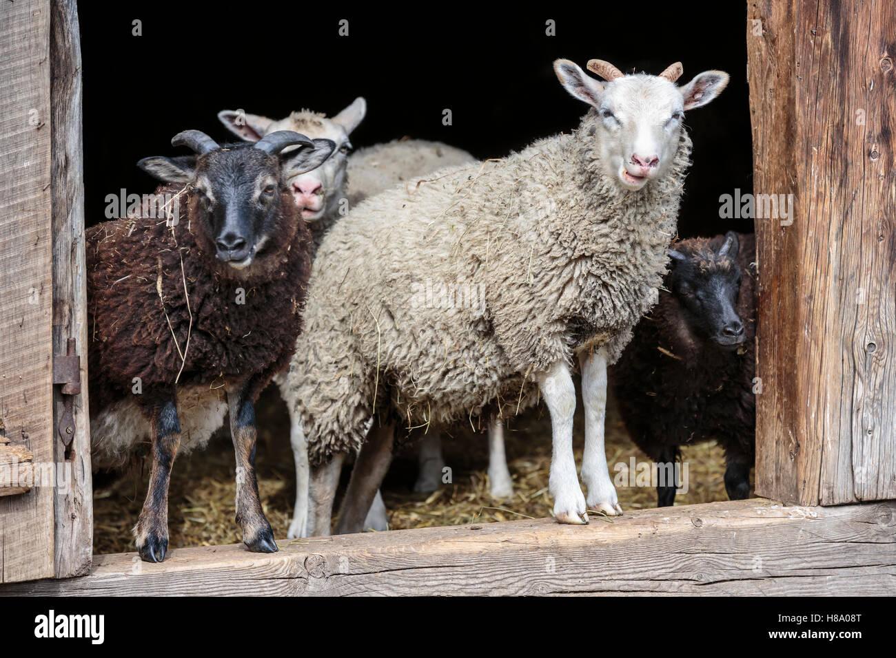 Les moutons domestiques dans une bergerie, l'Ontario, Canada. Photo Stock