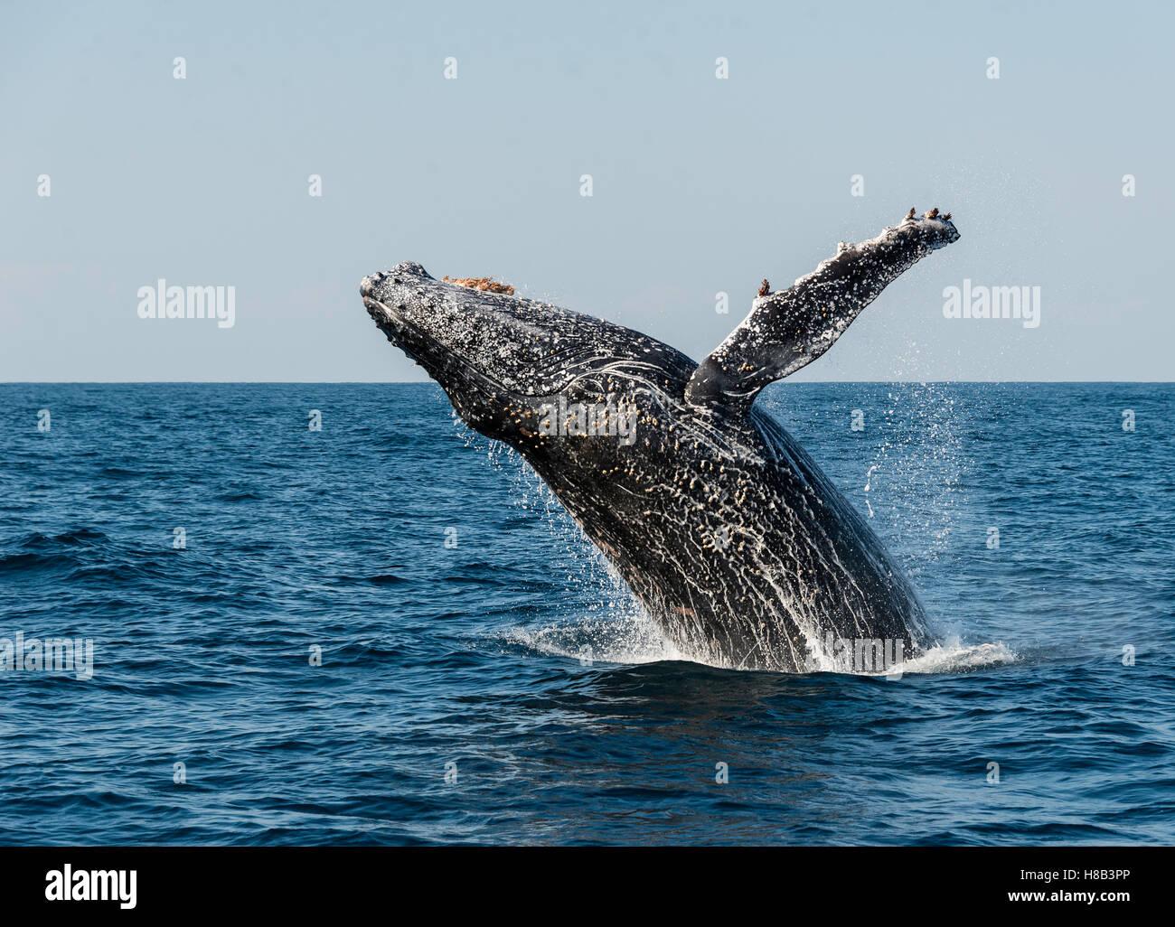 Humpback Whale breaching au large de la côte est d'Afrique du Sud pendant la saison de sardine run. Photo Stock
