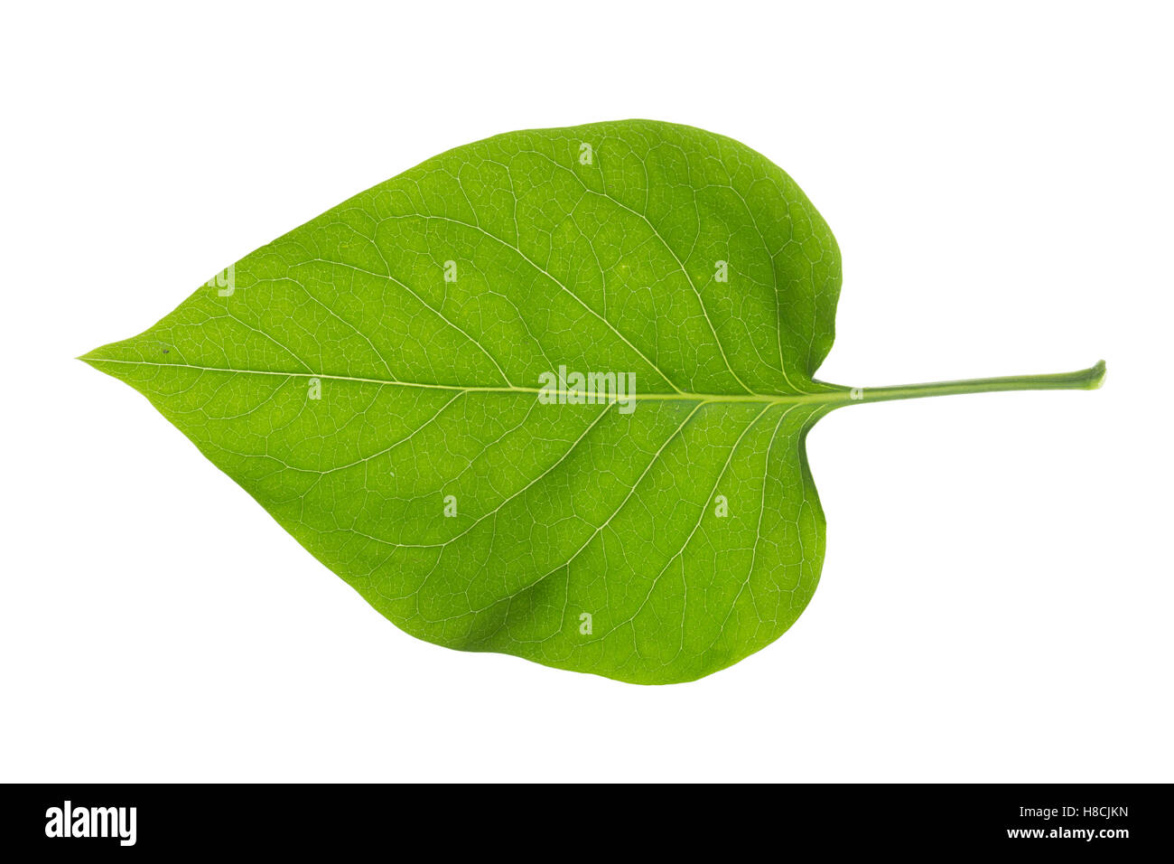 «Garten-Flieder, Flieder, Flieder, Syringa vulgaris, le lilas commun, en français, le lilas commun lilas, Photo Stock