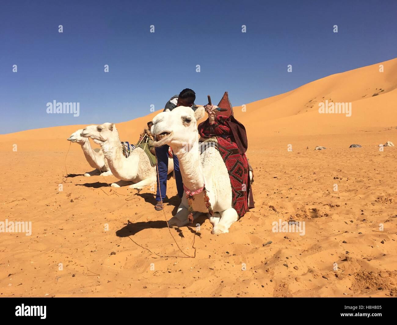 L'équitation de chameau à Taghit Bechar, Algérie, Désert Photo Stock
