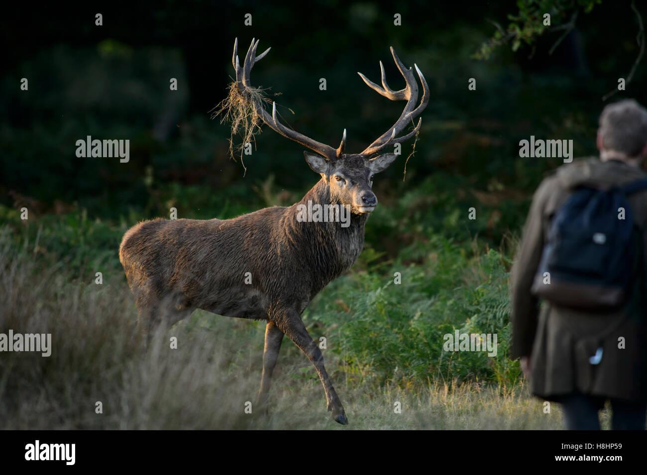 Red Deer stag à Richmond Park, Londres, avec comportement offensif vers une marche touristique trop près Photo Stock