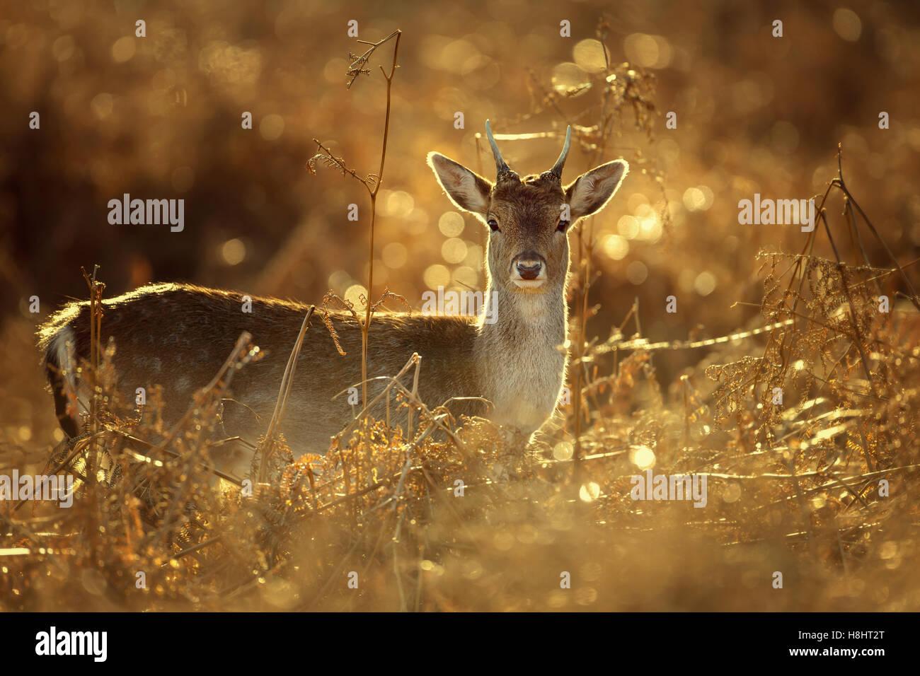 Les jeunes Daims buck dans la lumière d'or Photo Stock