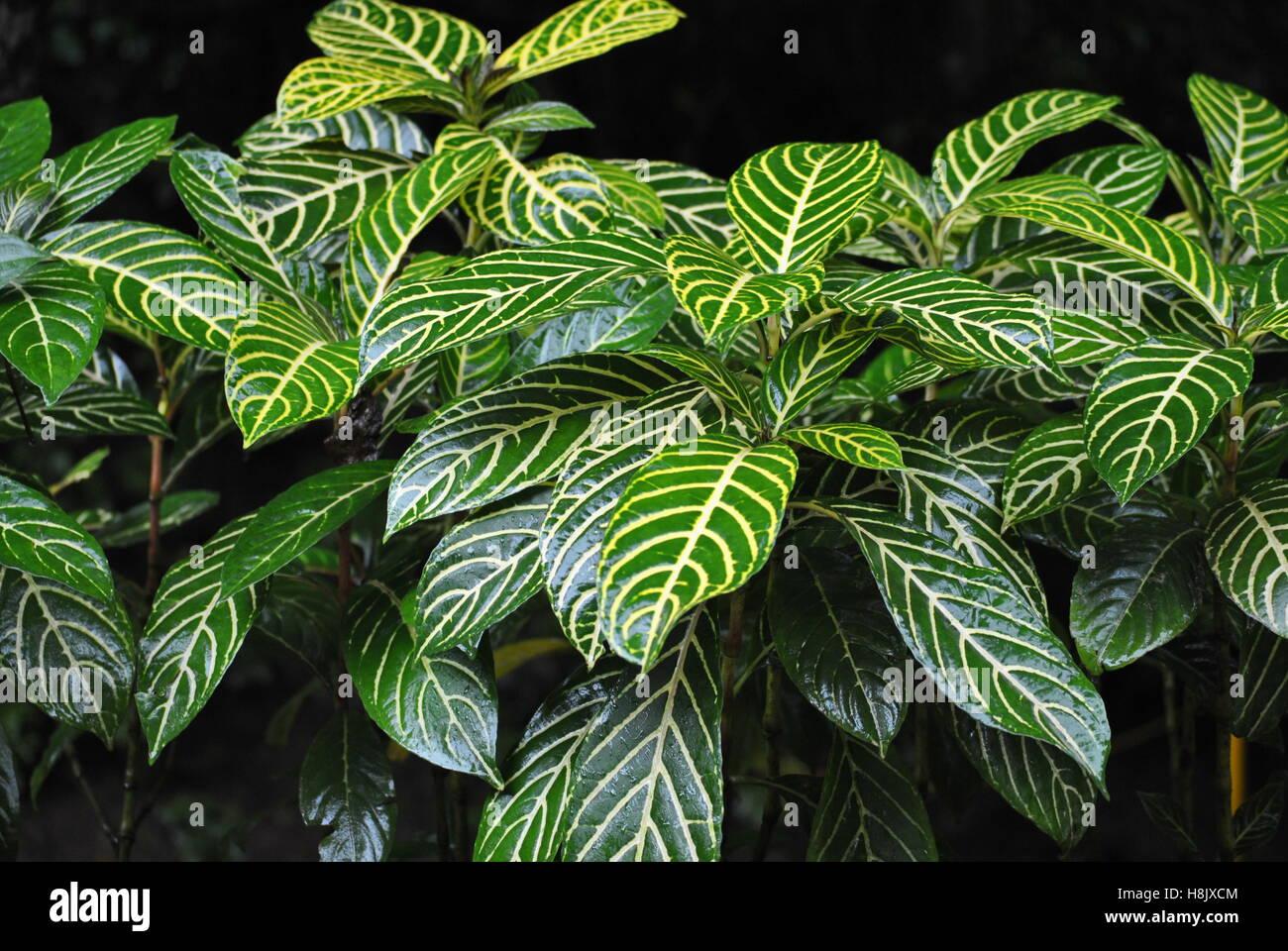 Des plantes en plein air vert rayé jaune avec des veines dans la pluie forêt près de Jaco Costa Rica Photo Stock