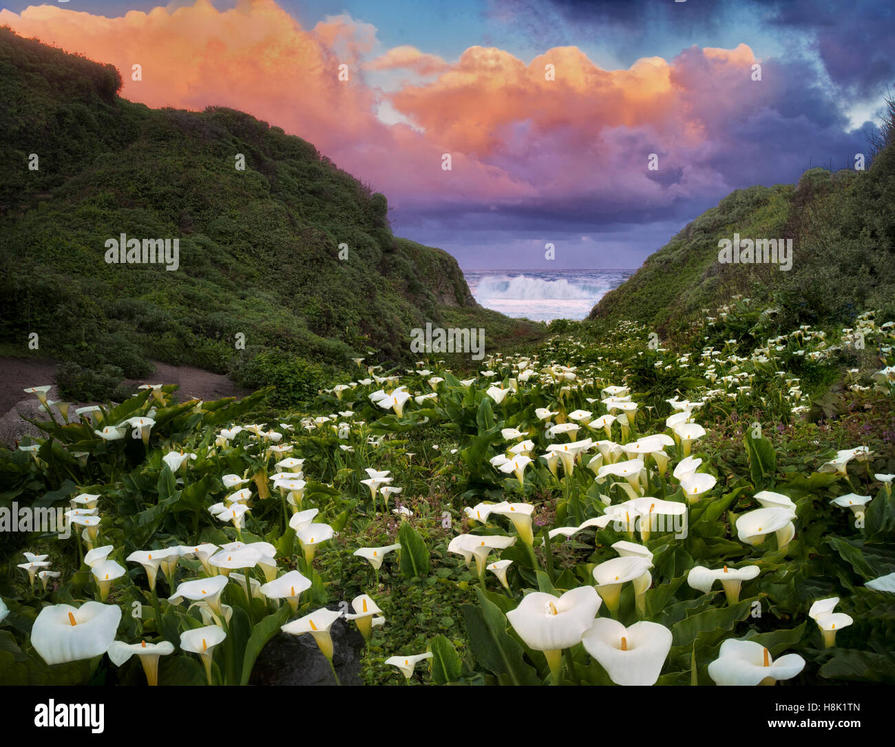 Calla lillies et le lever du soleil les nuages. Garrapata State Park, Californie Photo Stock