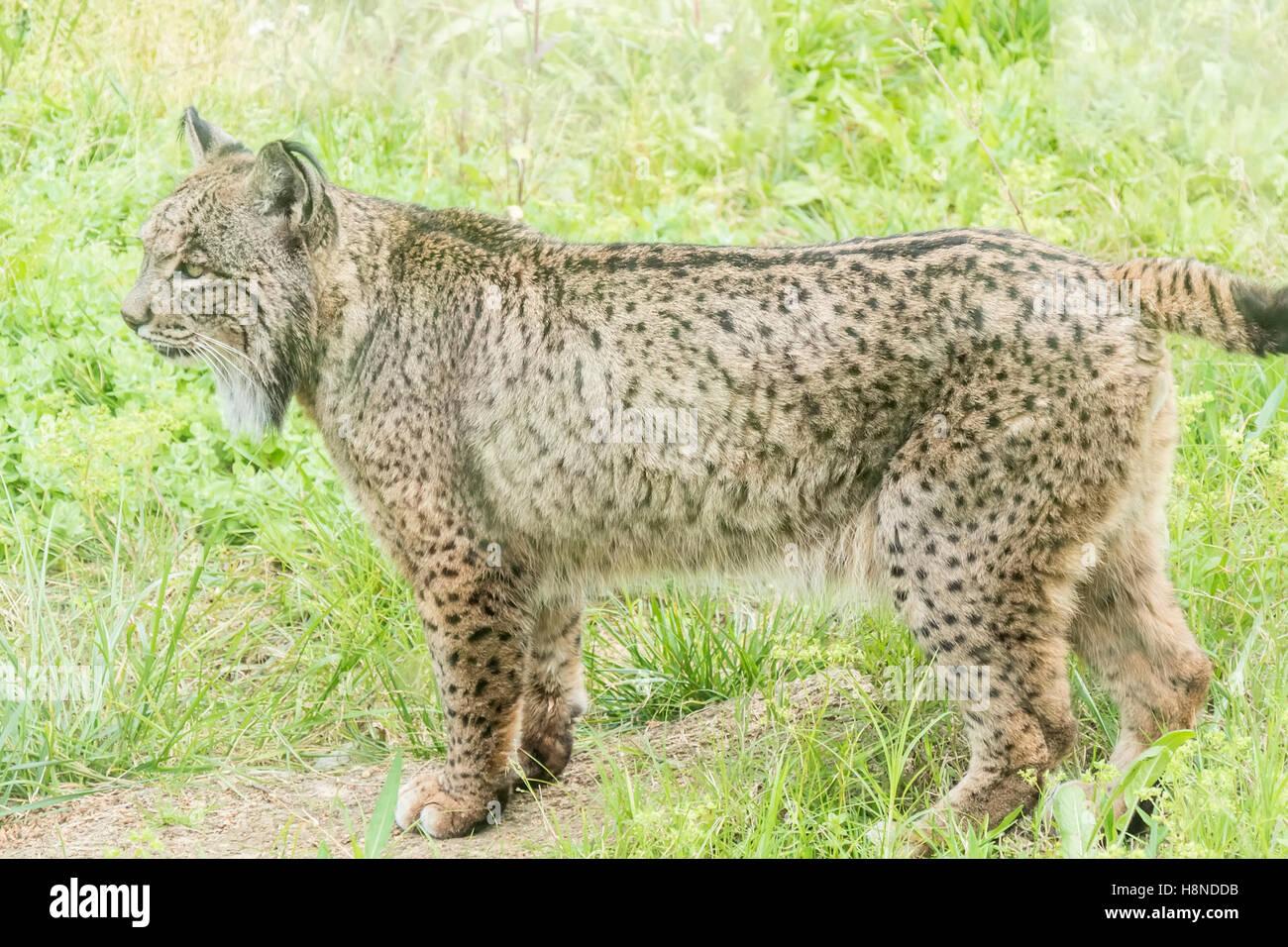 Lynx pardinus, le lynx ibérique Banque D'Images