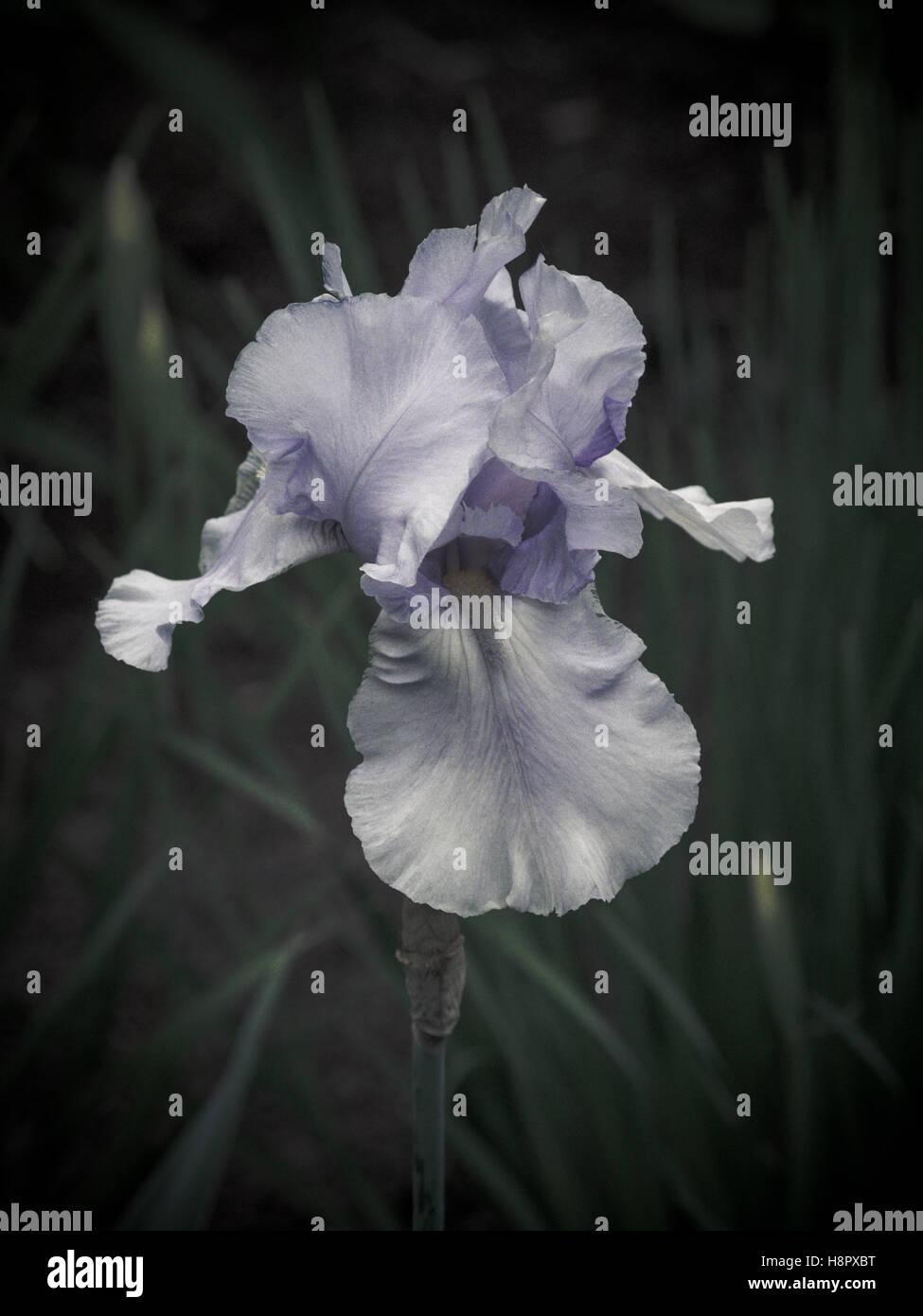 Iris en fleurs Photo Stock