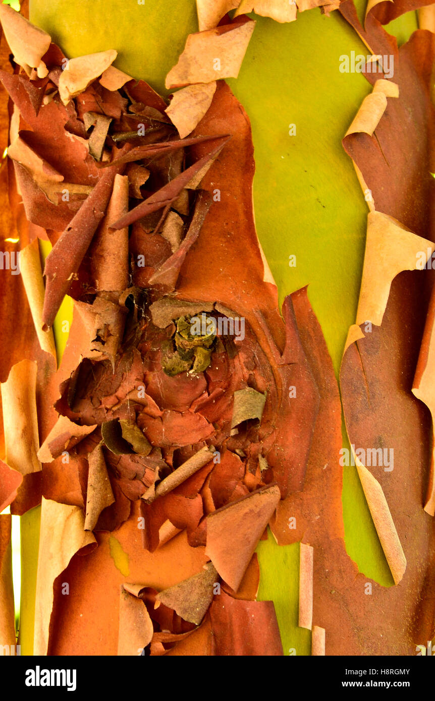 Peler l'écorce du tronc d'un Pacific madrone, arbousier (Arbutus menzeisii) Photo Stock