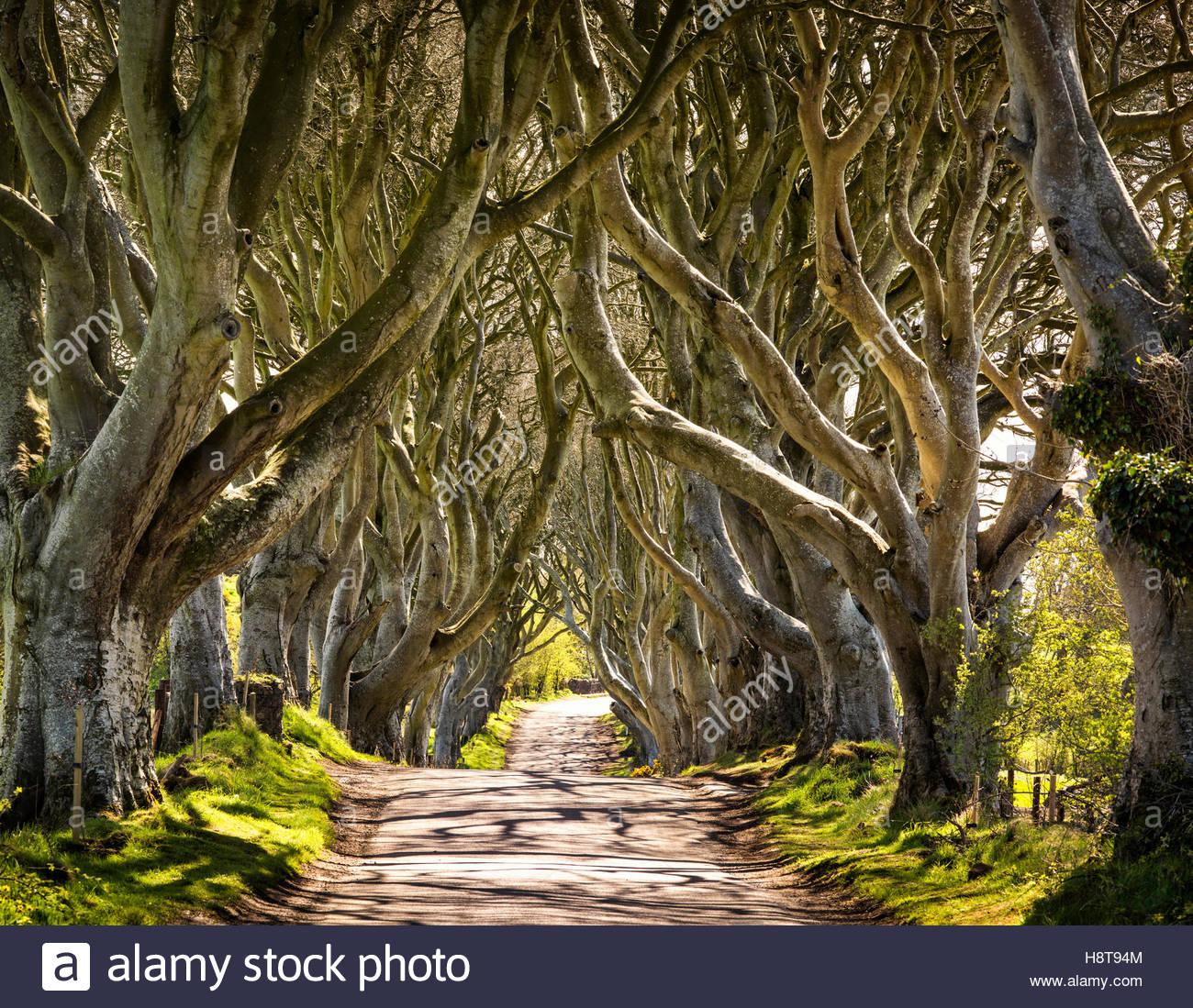 Jeu des trônes Emplacement de la Dark Hedges en Irlande du Nord. Banque D'Images