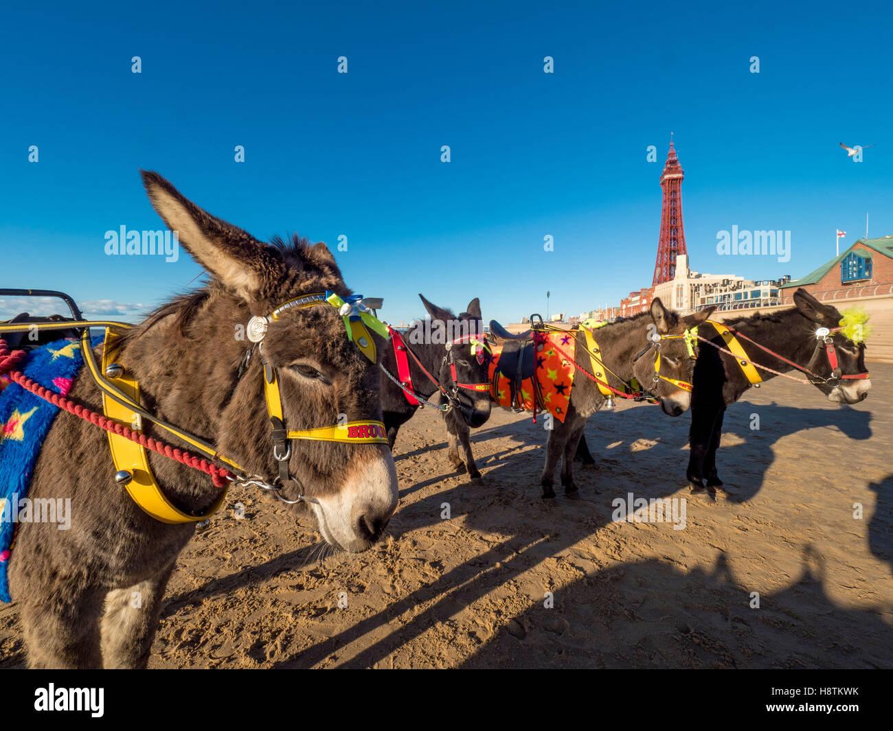 Des ânes sur la plage avec la tour de Blackpool en distance, Blackpool, Lancashire, Royaume-Uni. Photo Stock