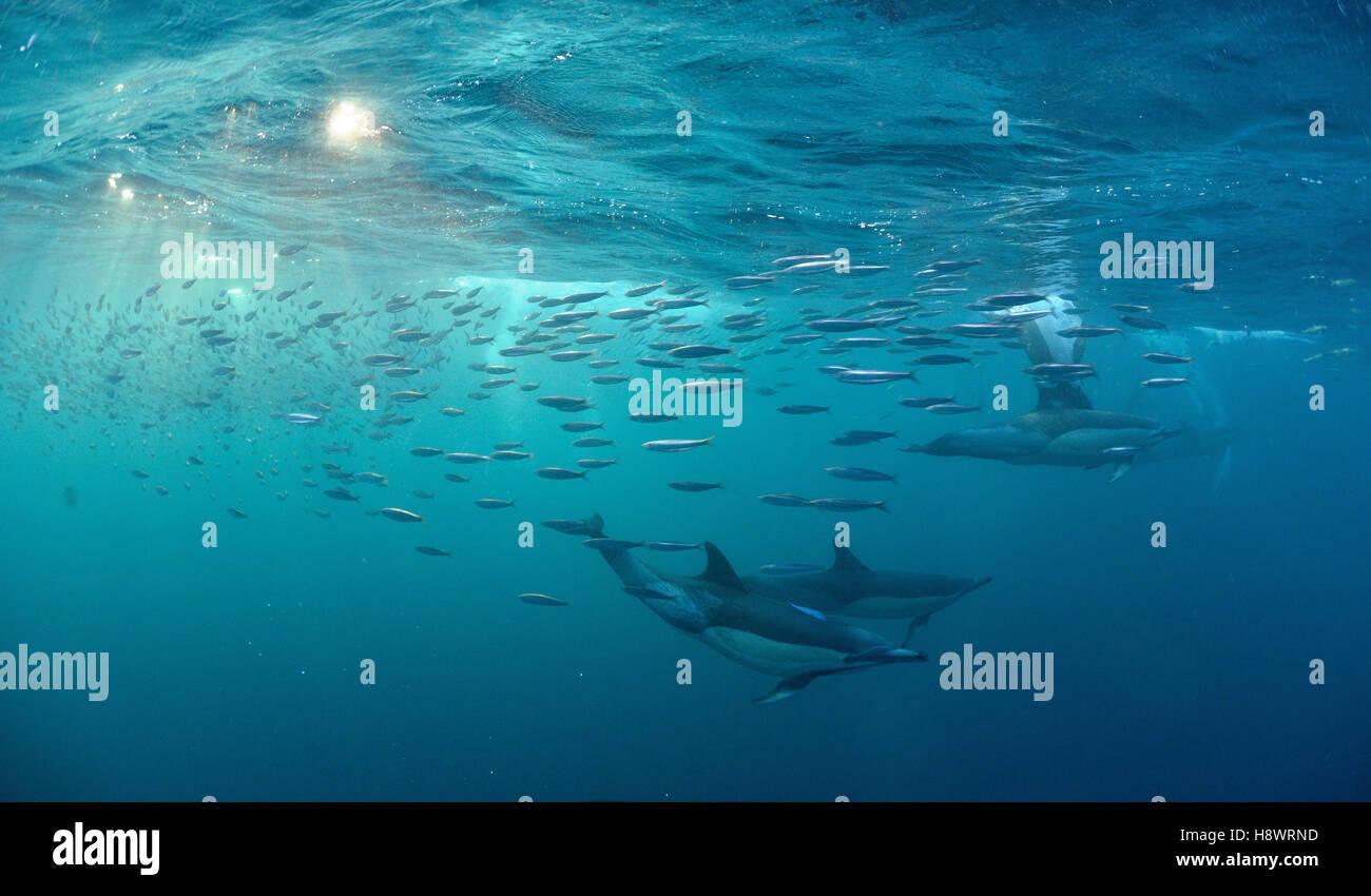 Dauphins Dauphin commun (Delphinus capensis) groupe chasing sardines au cours de la période d'exécution - sardines Banque D'Images