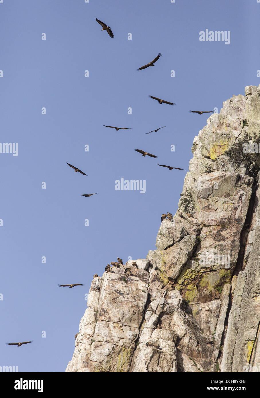 Charognards, en vol à Penafalcon falaise, Monfrague, Estrémadure, Espagne. Banque D'Images