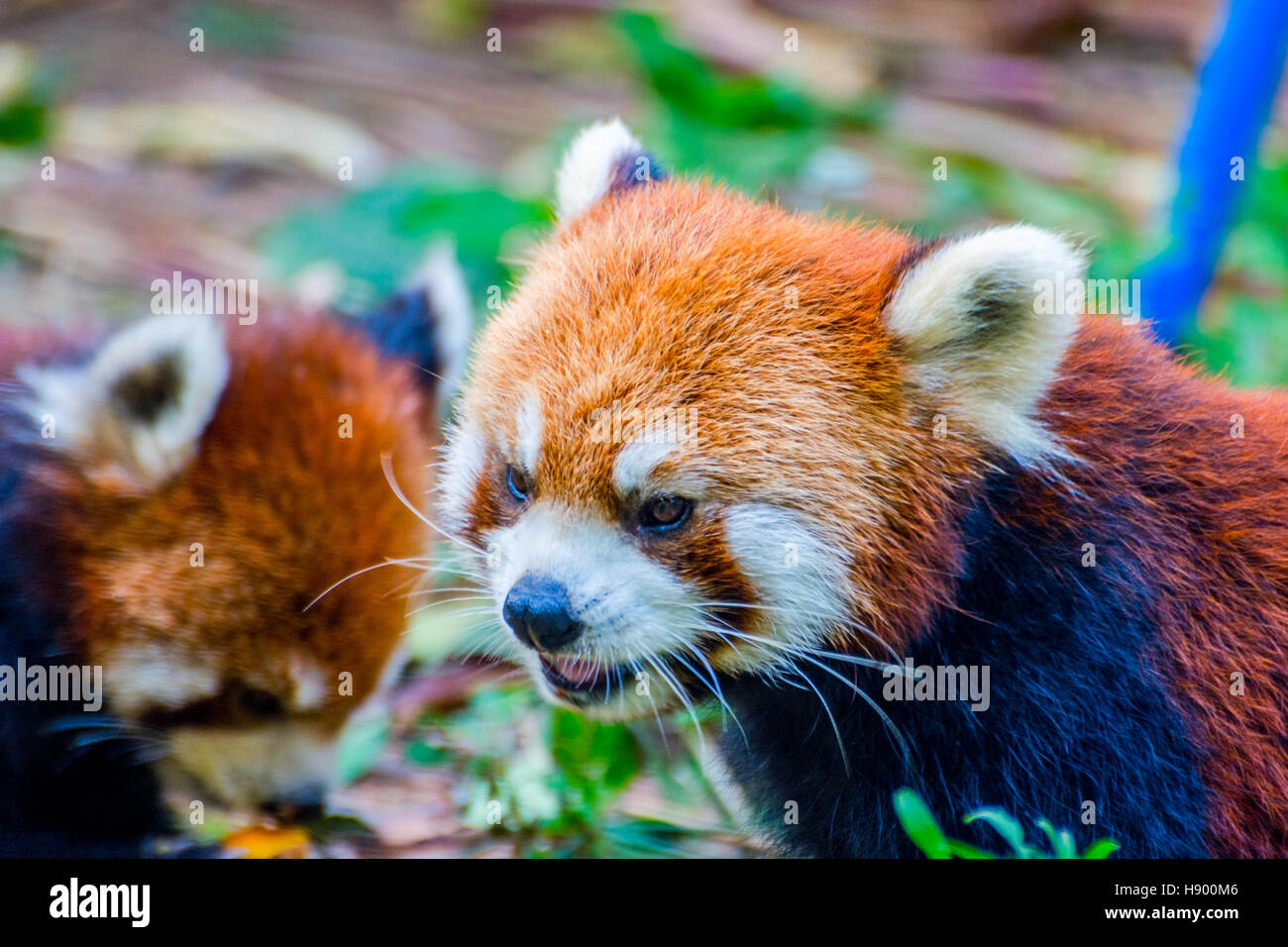 Le panda rouge (Ailurus fulgens) ou moins manger panda pumpkins Photo Stock