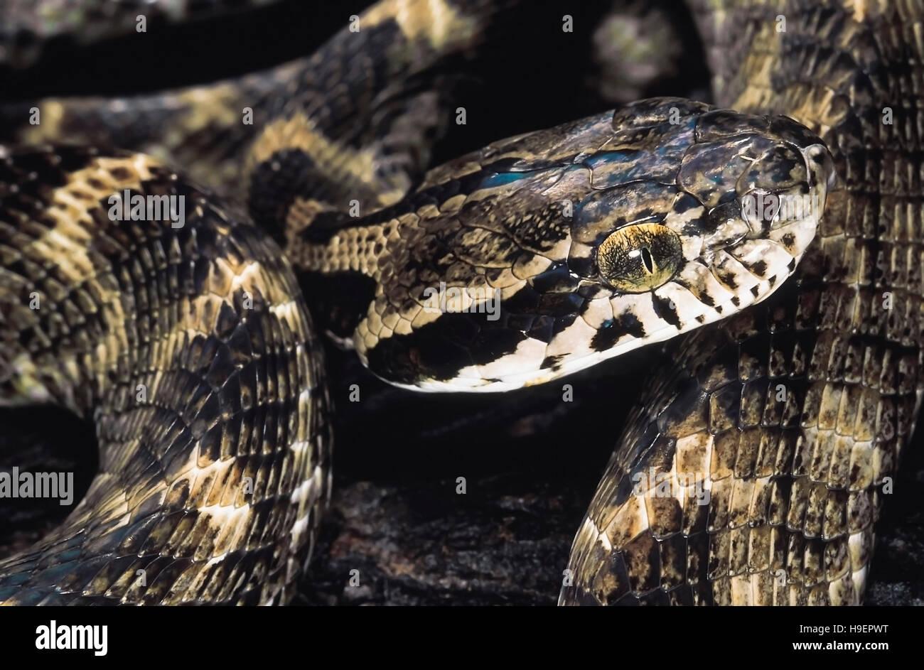 Boiga Forsteni. Le chat de Forsten serpent. Les non venimeux. Le Maharashtra, Inde. Photo Stock