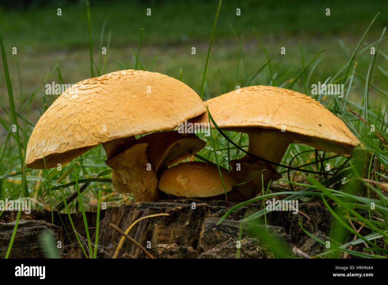 Rustgill spectaculaire des champignons dans la forêt Photo Stock