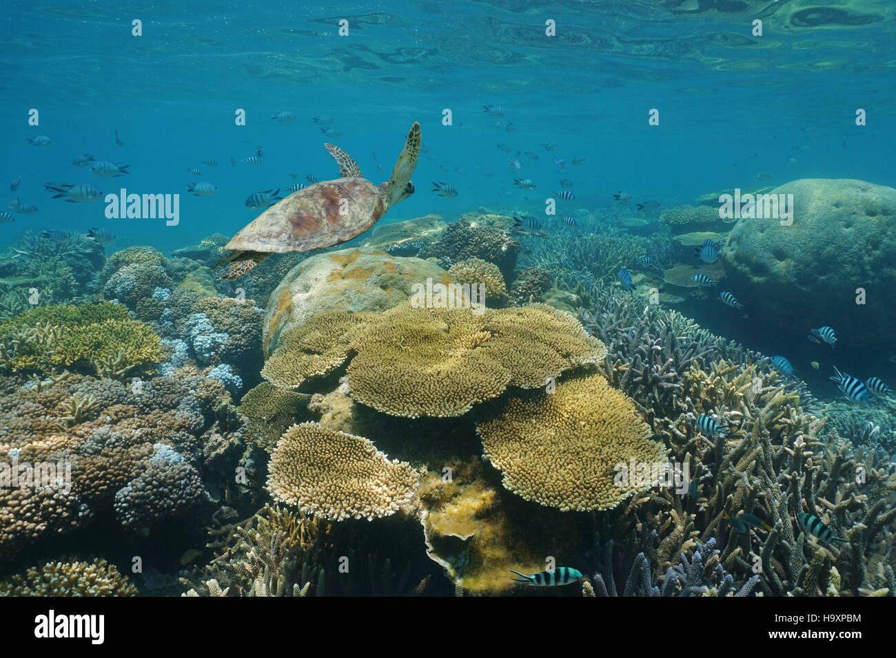 Sous-marine des récifs coralliens peu profonds avec une tortue de mer verte et poisson, Nouvelle Calédonie, Photo Stock