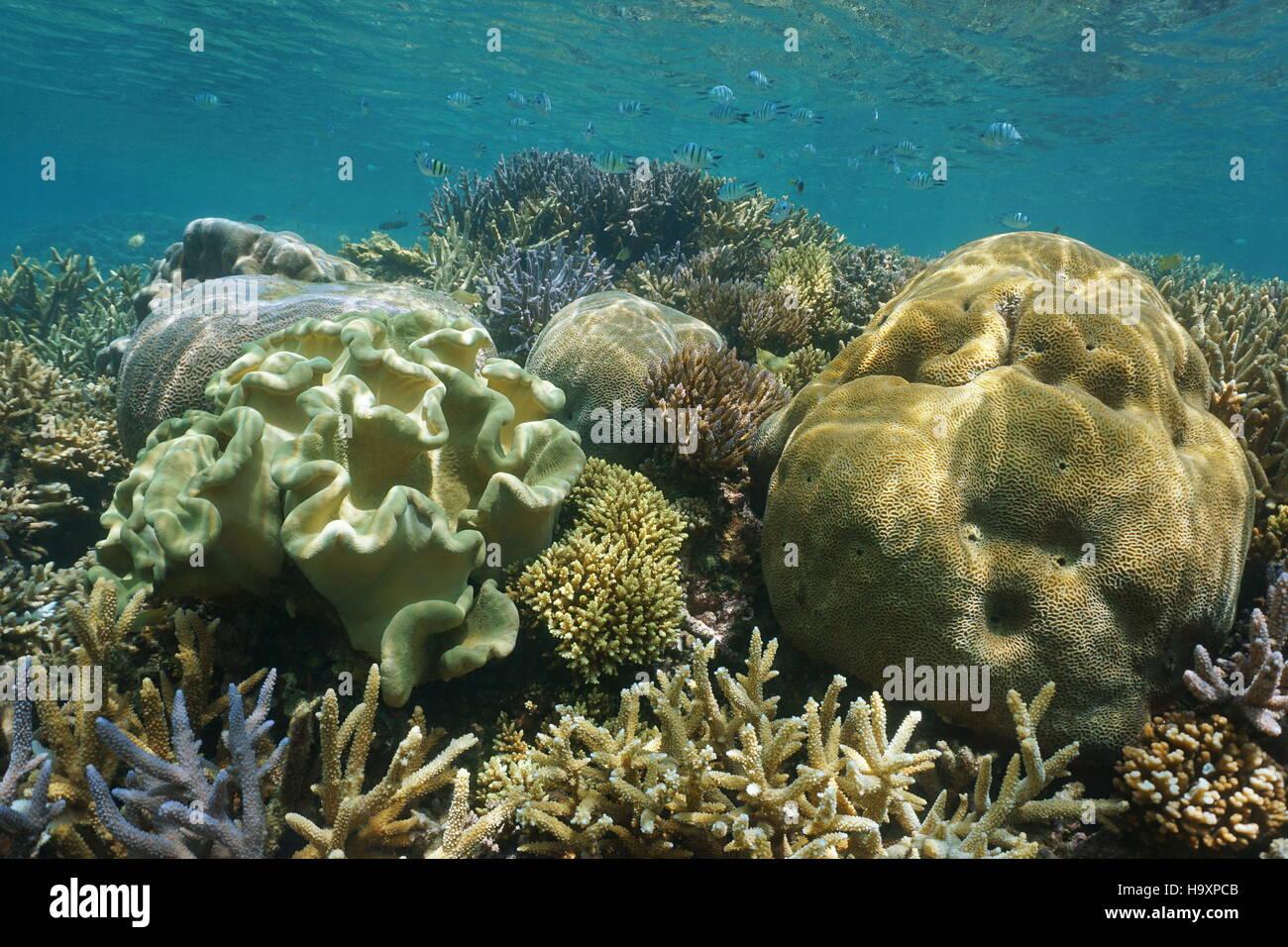 La diversité des récifs coralliens avec coraux mous et durs sous l'eau, Nouvelle Calédonie, océan Pacifique sud Banque D'Images
