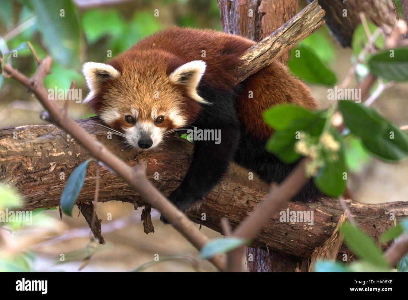 Le panda rouge (Ailurus fulgens) Photo Stock