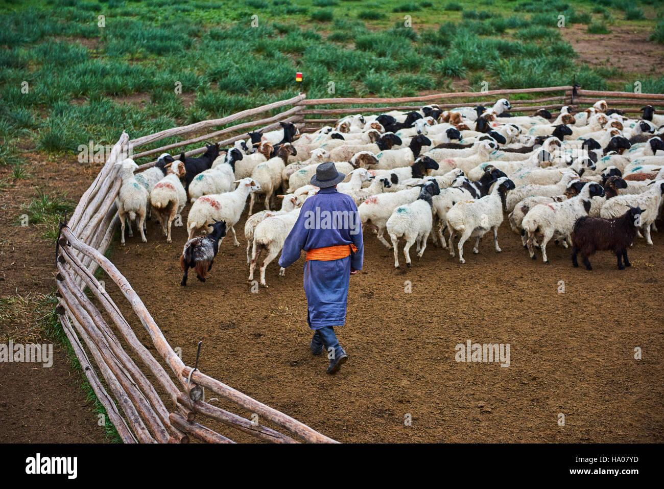 La Mongolie, province Arkhangai, nomad camp, troupeau de moutons Banque D'Images