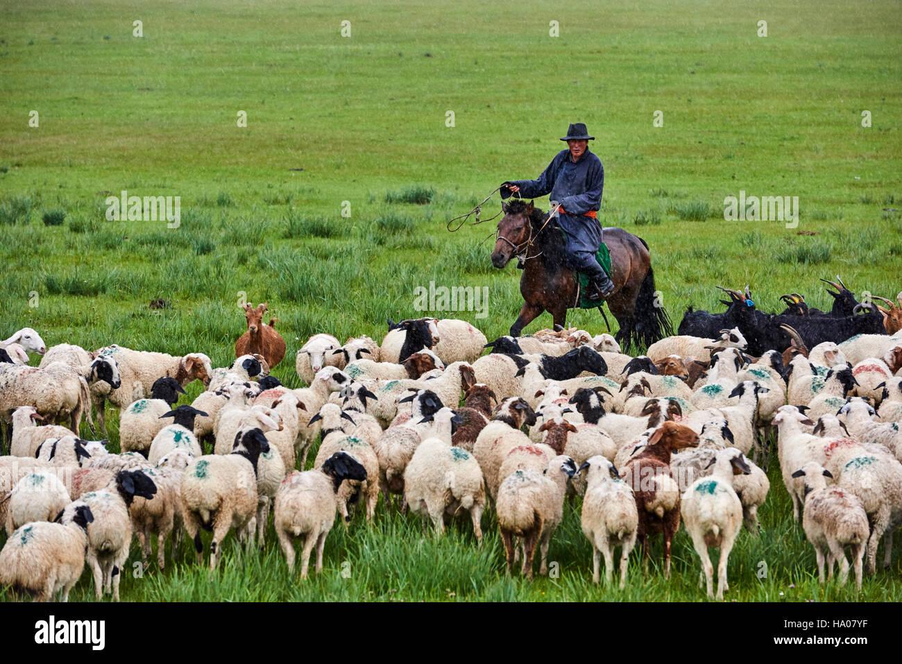 La Mongolie, province Arkhangai, nomad camp, troupeau de moutons sous la pluie Photo Stock