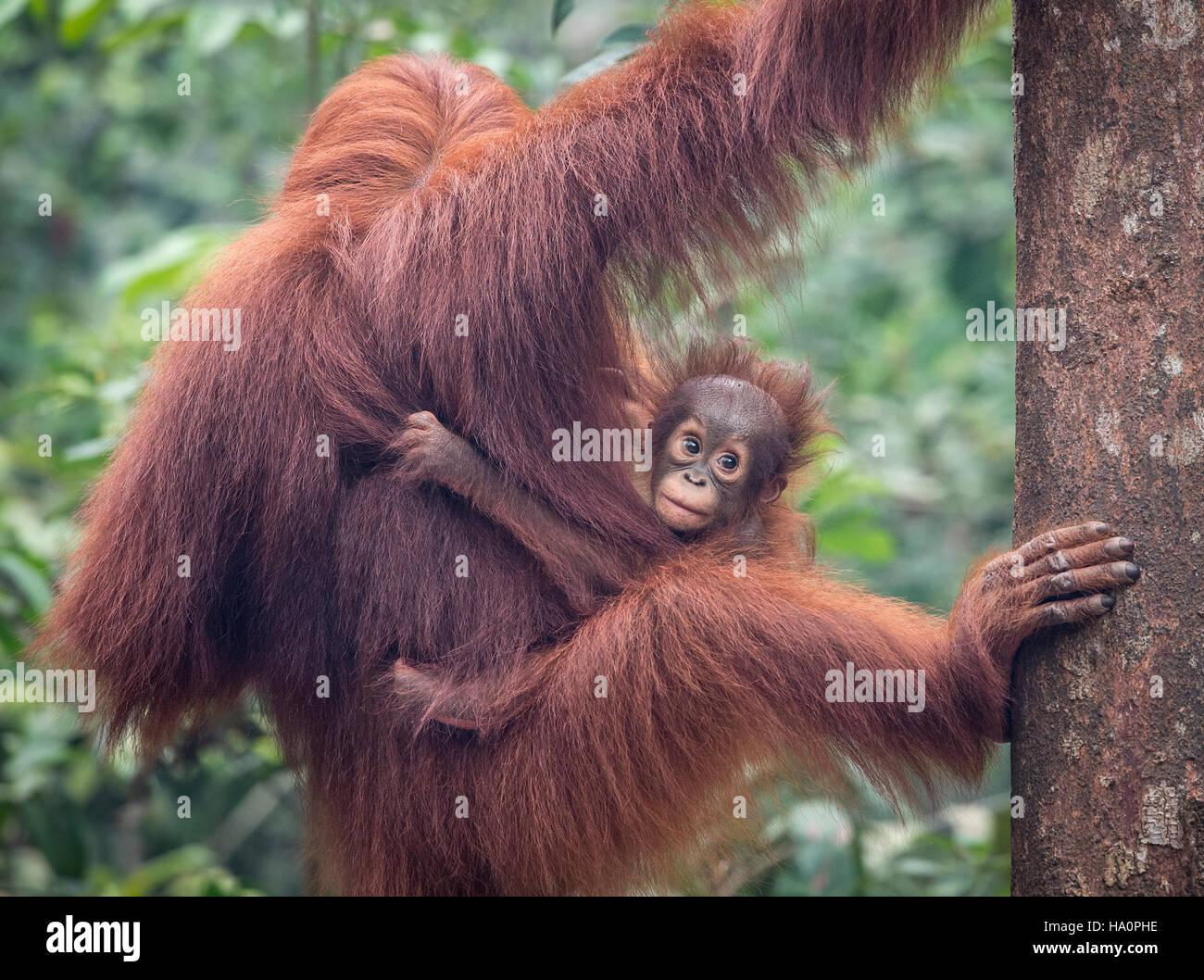 La mère et le bébé orang-outan de Bornéo Photo Stock