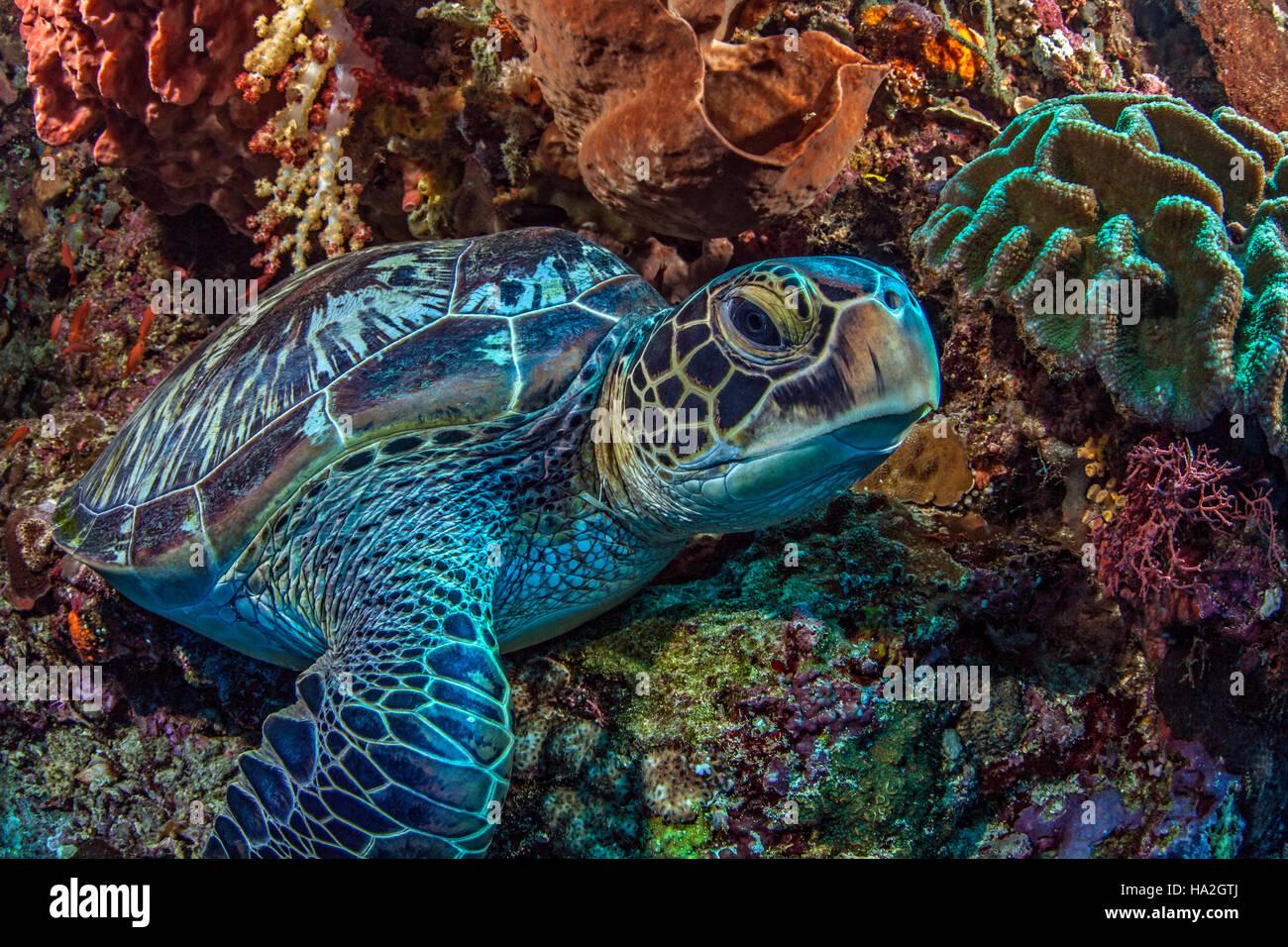 Tortue de mer se repose à l'intérieur d'une grande oreille d'éponge sur mur raide de Photo Stock