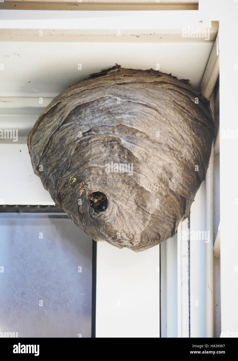 Un énorme nid de la ruche est suspendu à une maison avec des abeilles entrant et sortant d'un produit antiparasitaire ou d'allergie concept. Banque D'Images