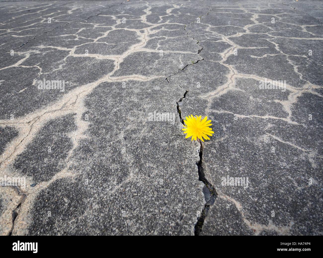Un petit jaune fleur de pissenlit est de pénétrer à travers une fissure dans le revêtement en Photo Stock