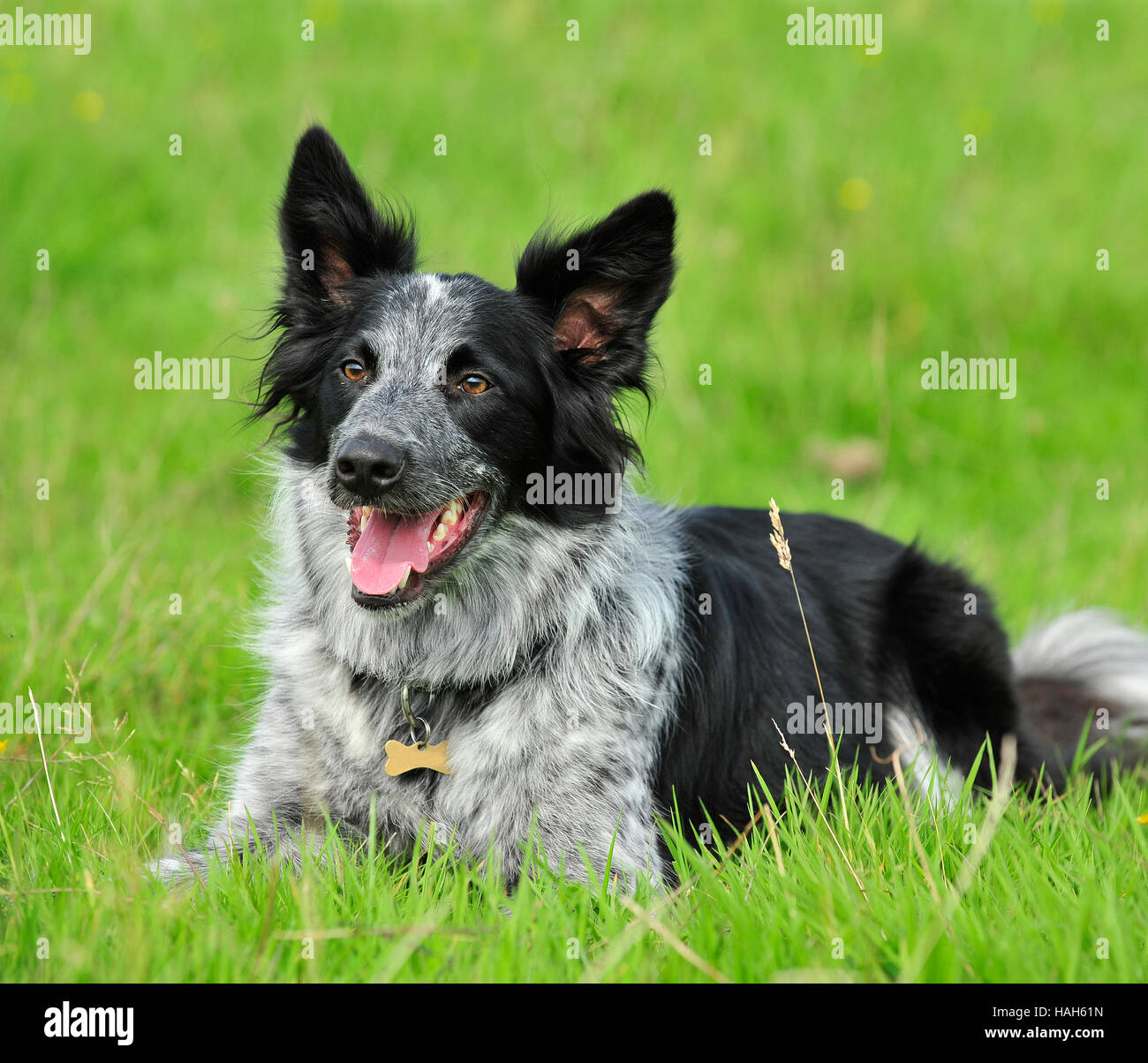 Merle border collie-uk summer Photo Stock