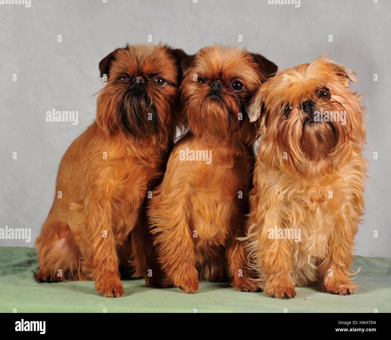 Griffon bruxellois 3 générations Photo Stock
