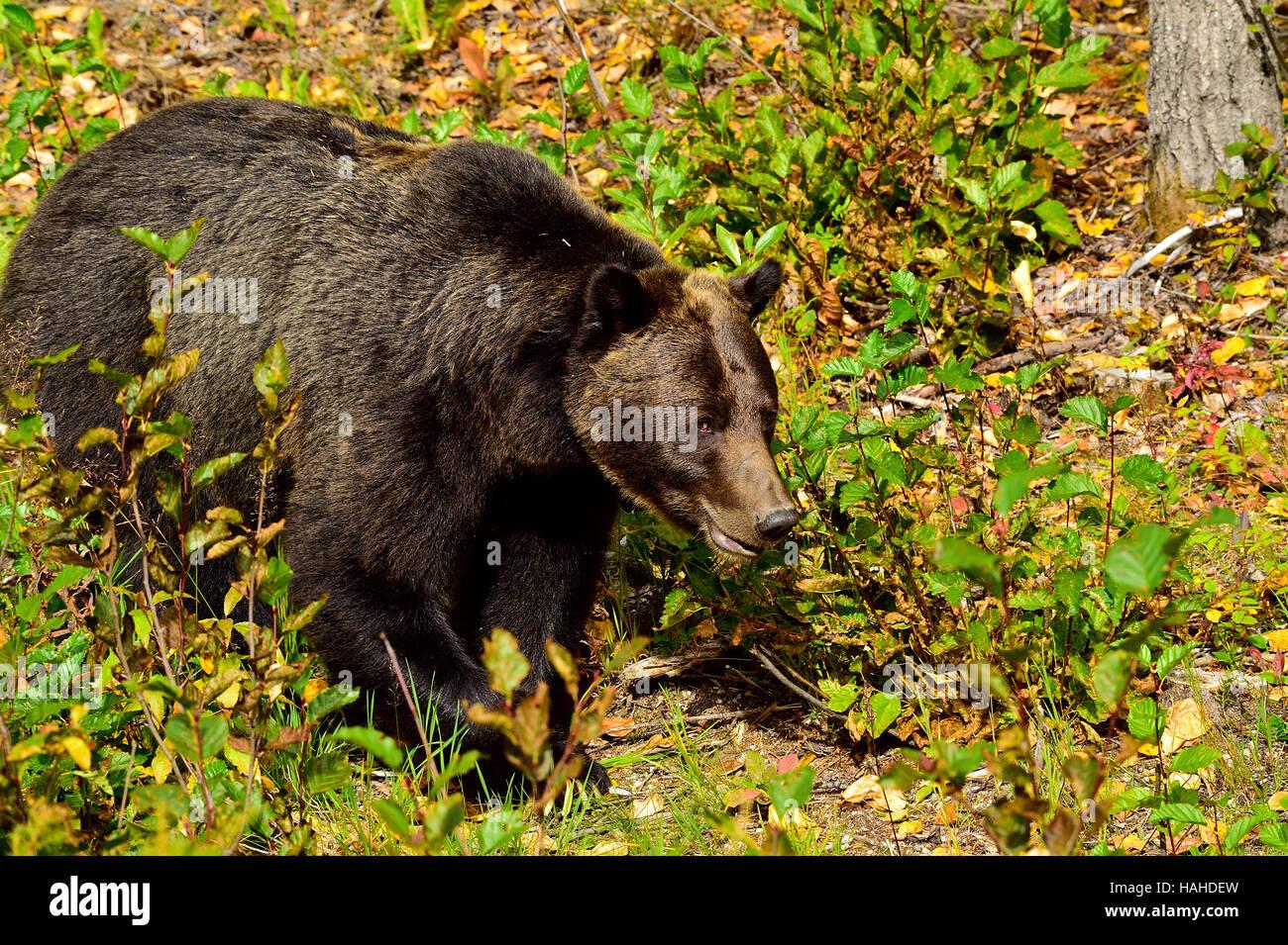 Un adulte l'ours grizzli Ursus arctos; marcher de l'avant jusqu'à l'automne la végétation Photo Stock