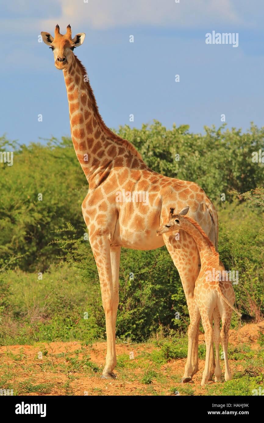 Girafe - L'arrière-plan de la faune africaine - bébés animaux et les mères d'aimer la Photo Stock
