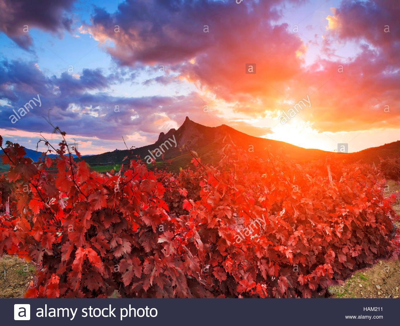 Paysage majestueux avec des vignes au coucher du soleil. Photo Stock