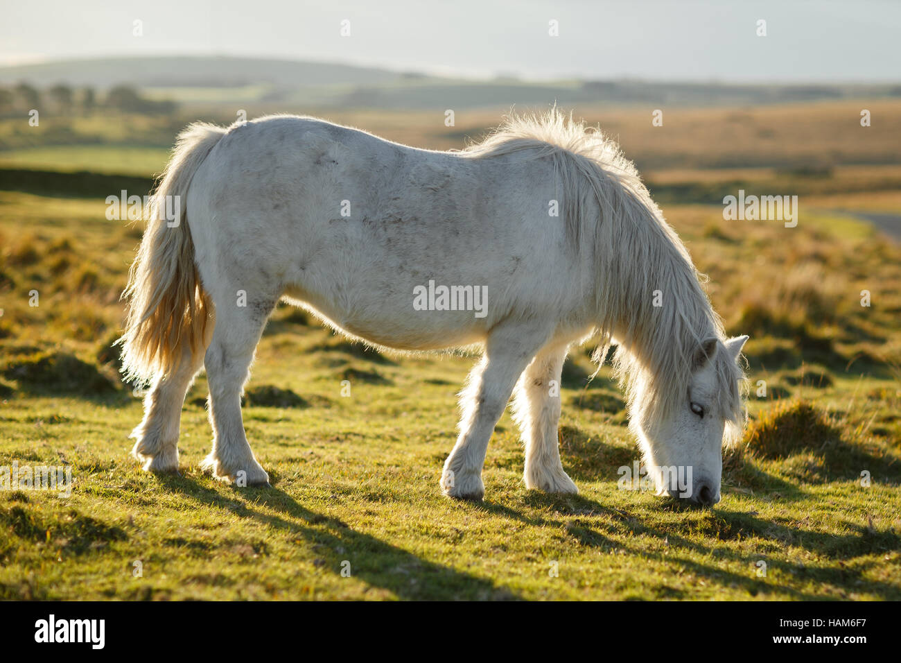 Poney Dartmoor dans les champs Photo Stock