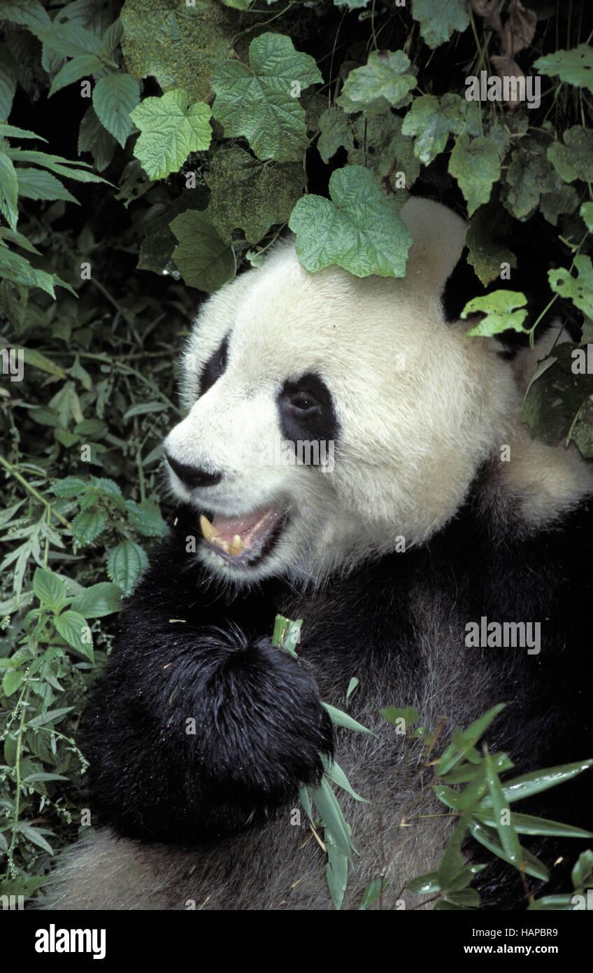 Panda géant Banque D'Images